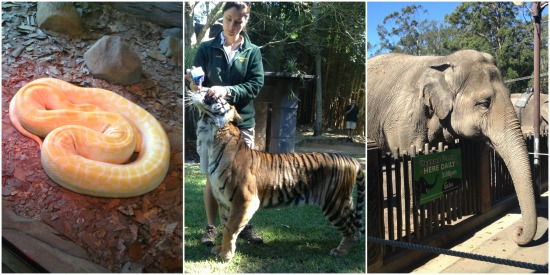 Python, bengal tiger and elephant feeding at Australia Zoo.