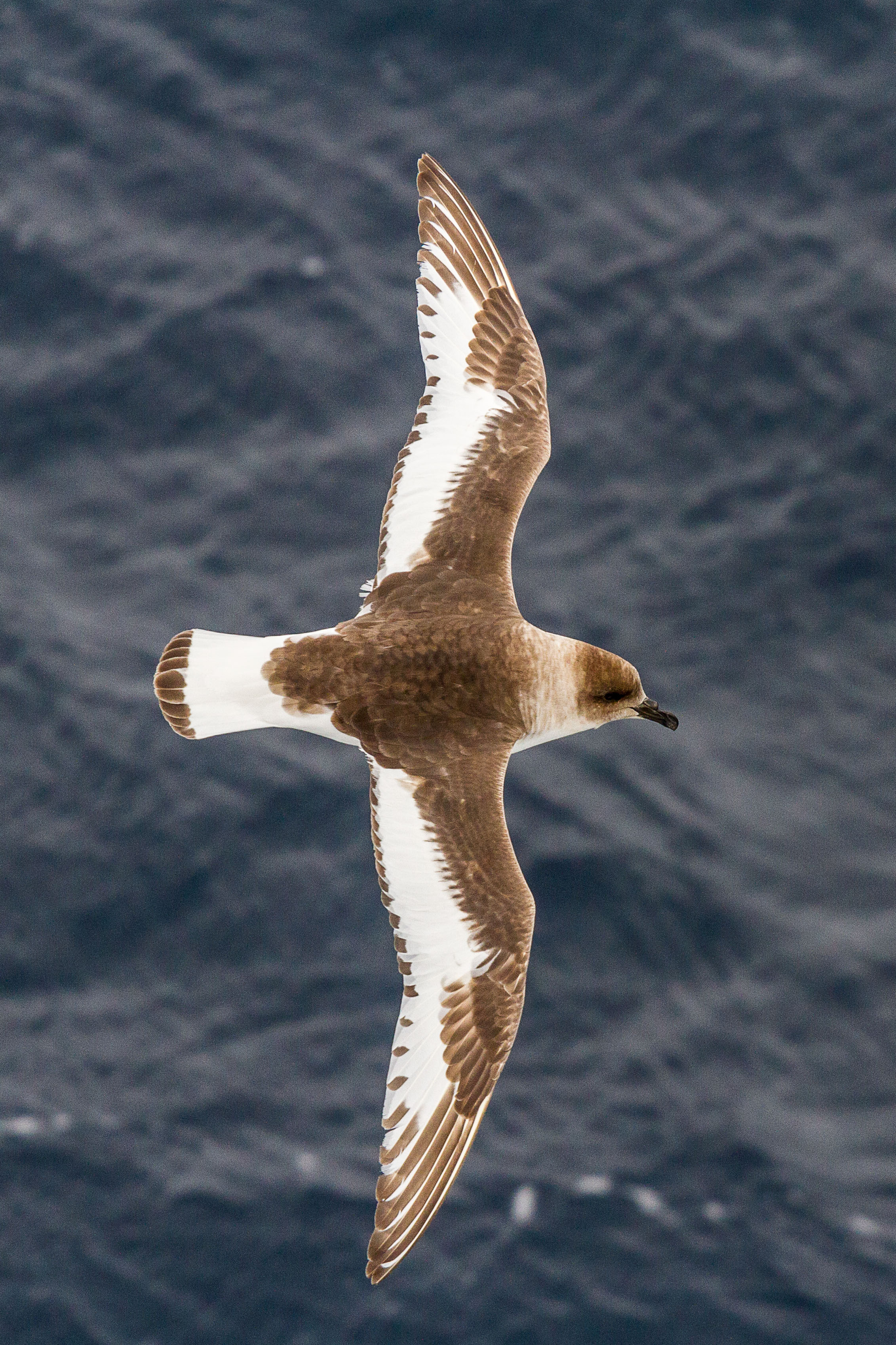 The Antarctic Petrel.   Photo by: Bob Zuur.