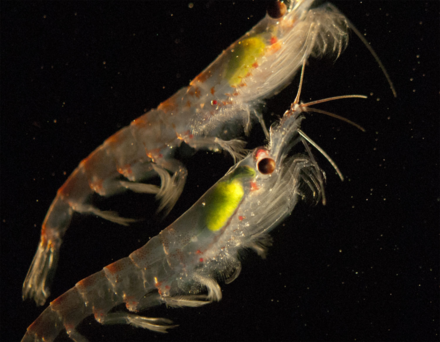Antarctic krill   (Euphausia superba).   Photo:  Australian Antarctic Division