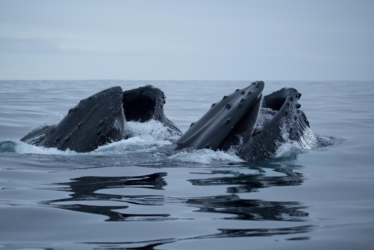 Photo taken by Dr. Friedlander, who will conduct a long-term ecological study on the foraging behavior of humpback whales around the Antarctic Peninsula.