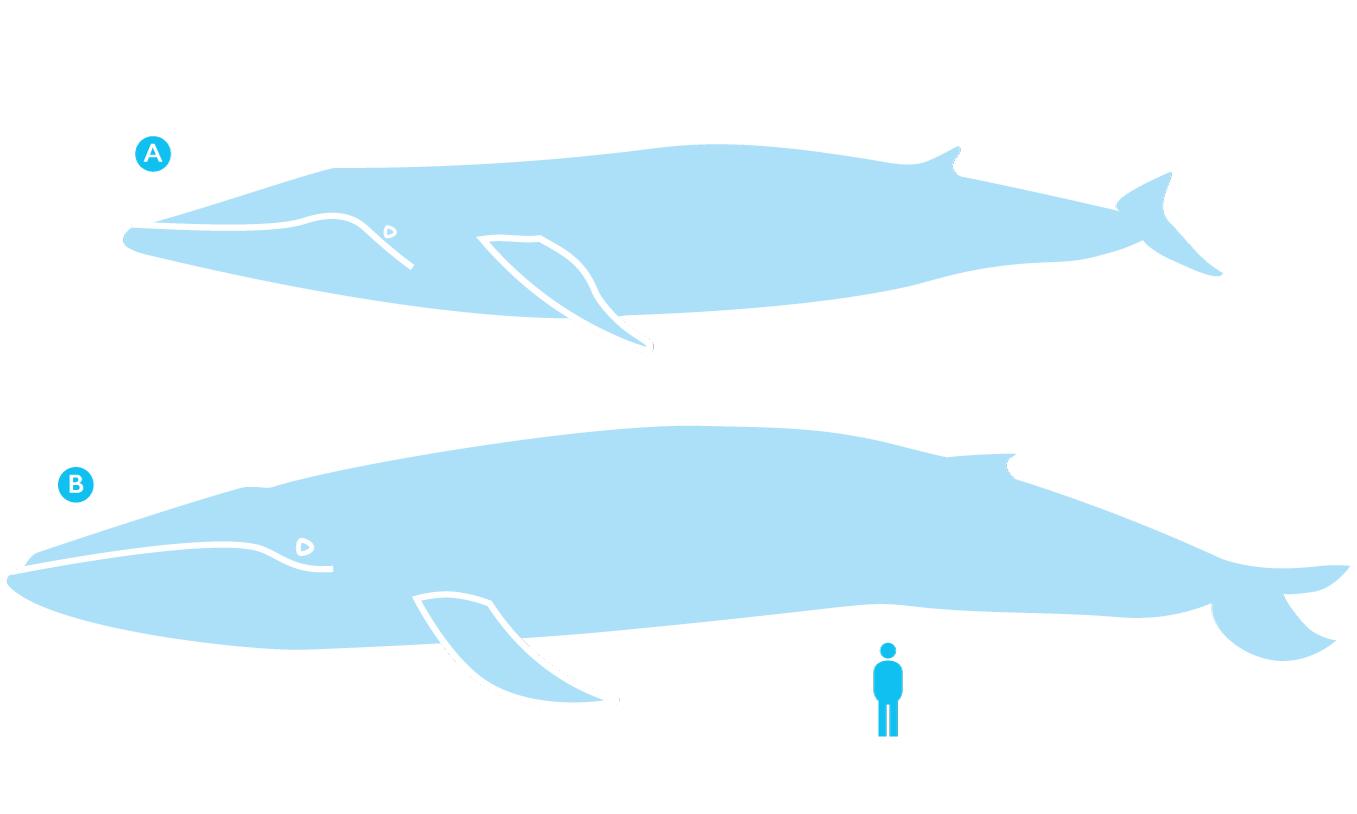 Fin whale (A), blue whale (B) and a human