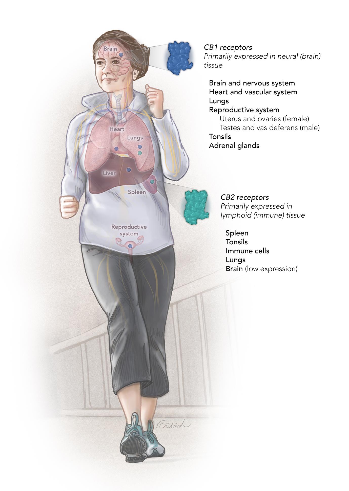 Endocannabinoid system_1web.jpg