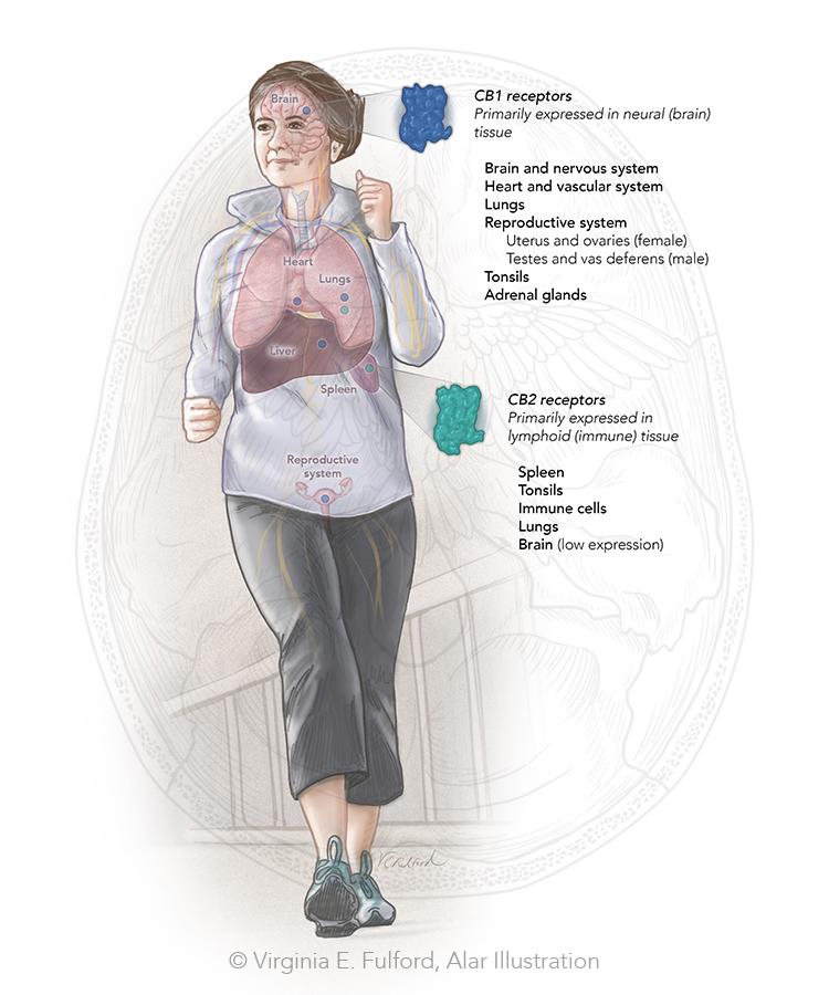 endocannabinoid system_1.jpg