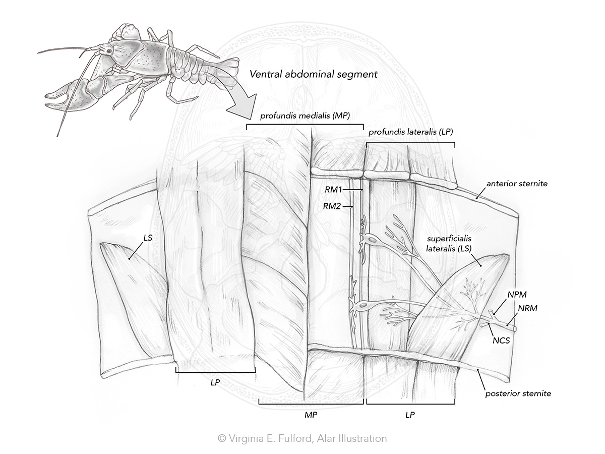 crayfish mro diagram_2.jpg
