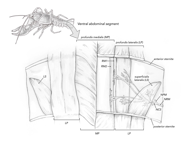 crayfish mro diagram_web.jpg