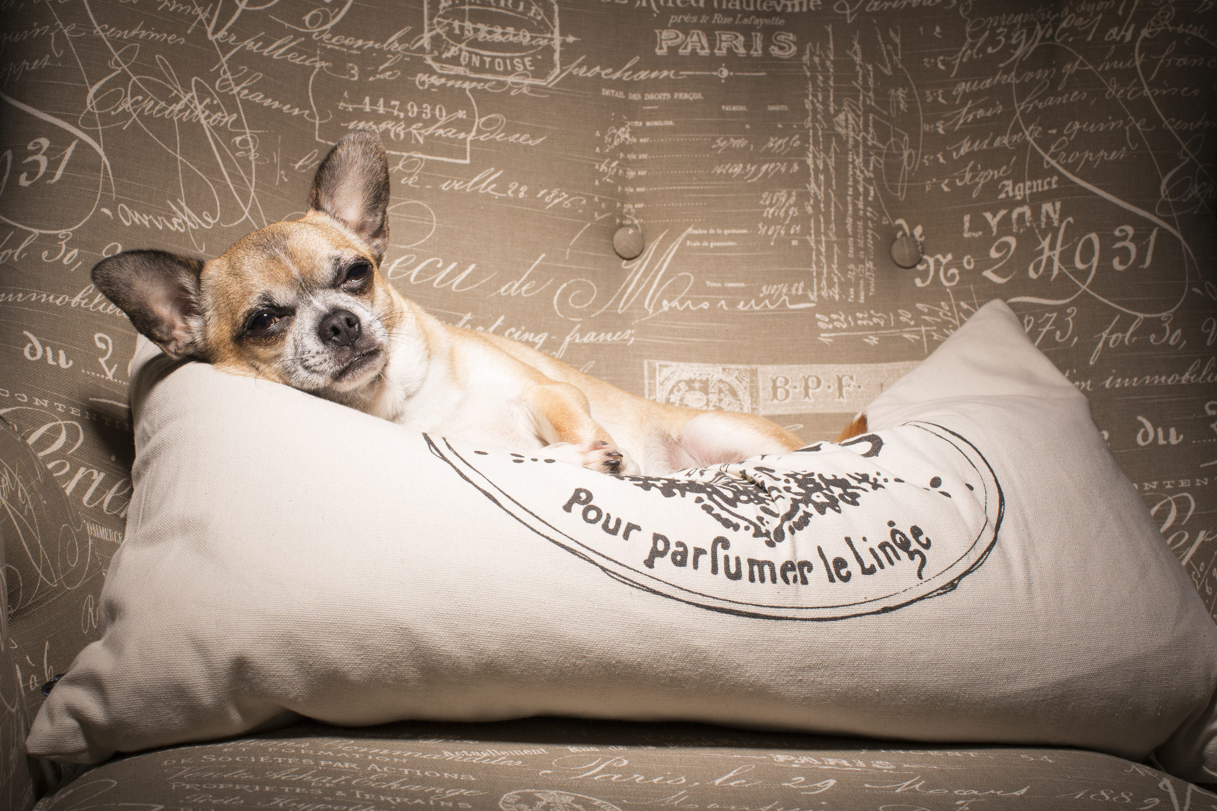 06 Chihuahua dog on location pet photography studio session paris industrial chair and pillow.jpg