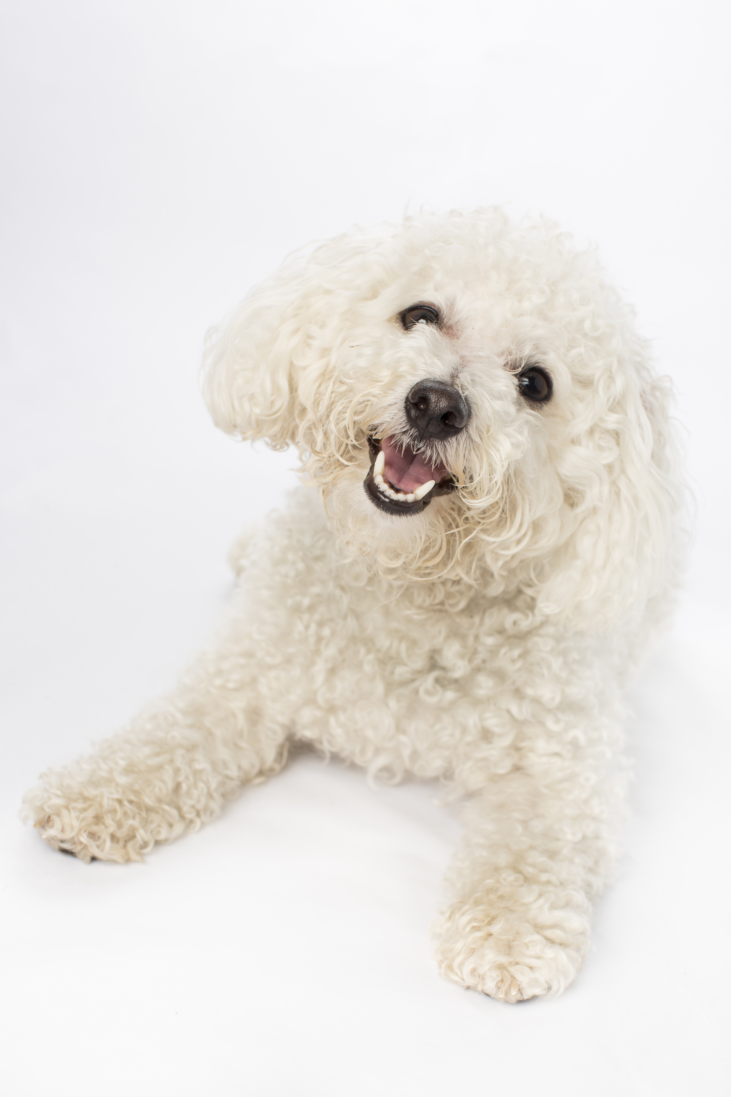 16 Happy white poodle puppy dog studio pet photography session on white.jpg