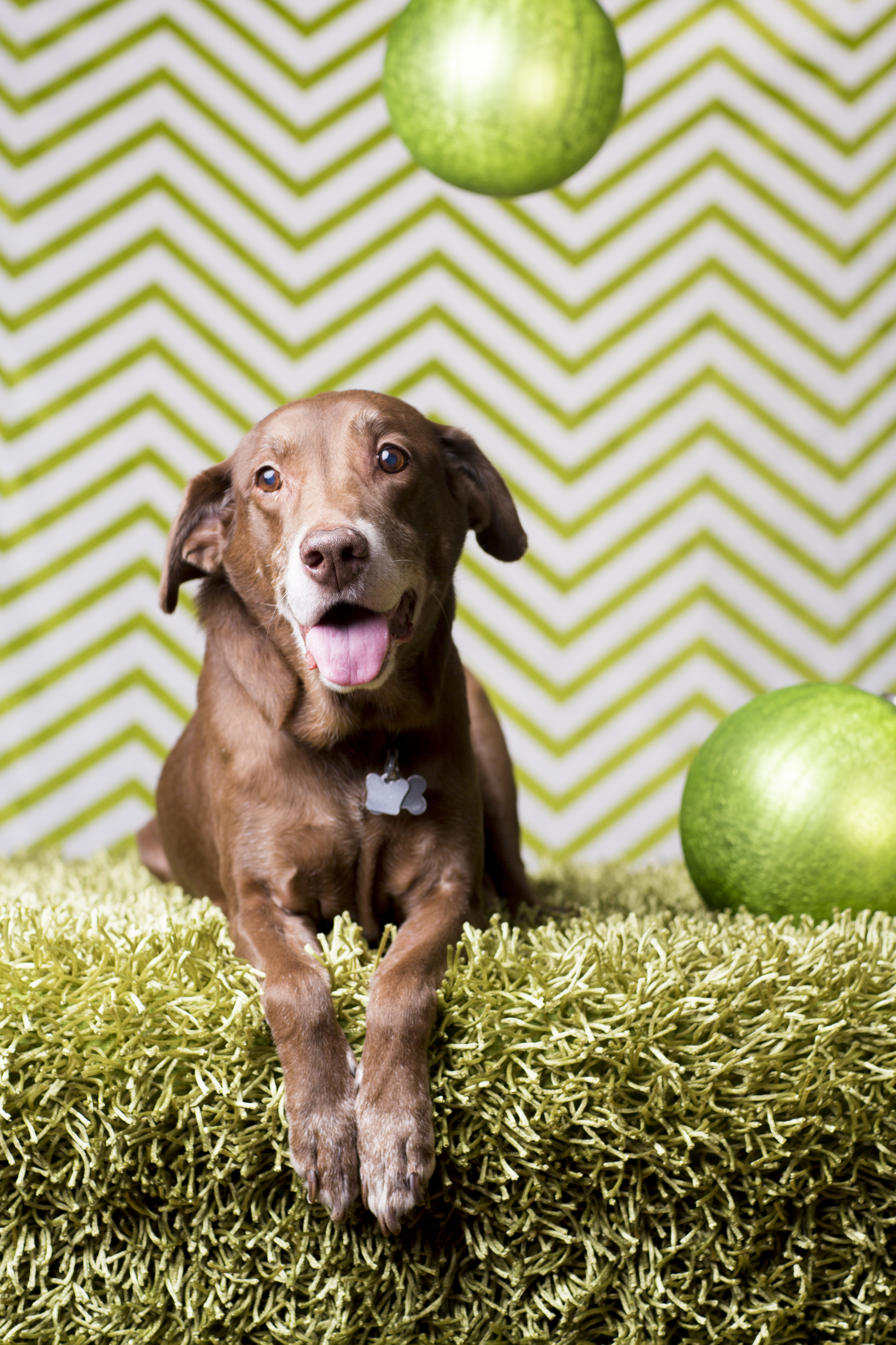 19 Chocolate lab holiday studio pet photography session chevron background green christmas baubles.jpg