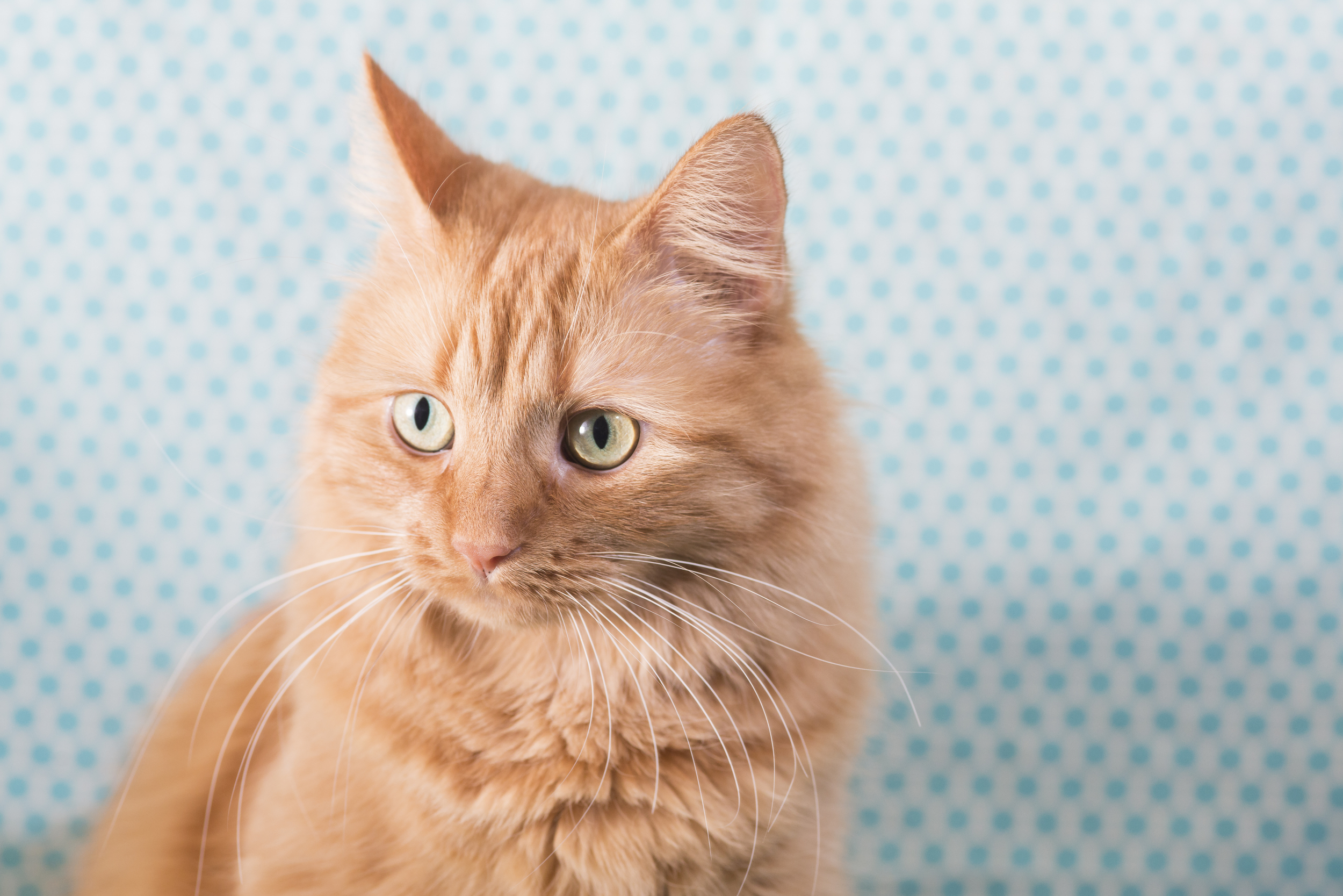 03 orange cat pet photography studio session on blue polka dot fabric.jpg