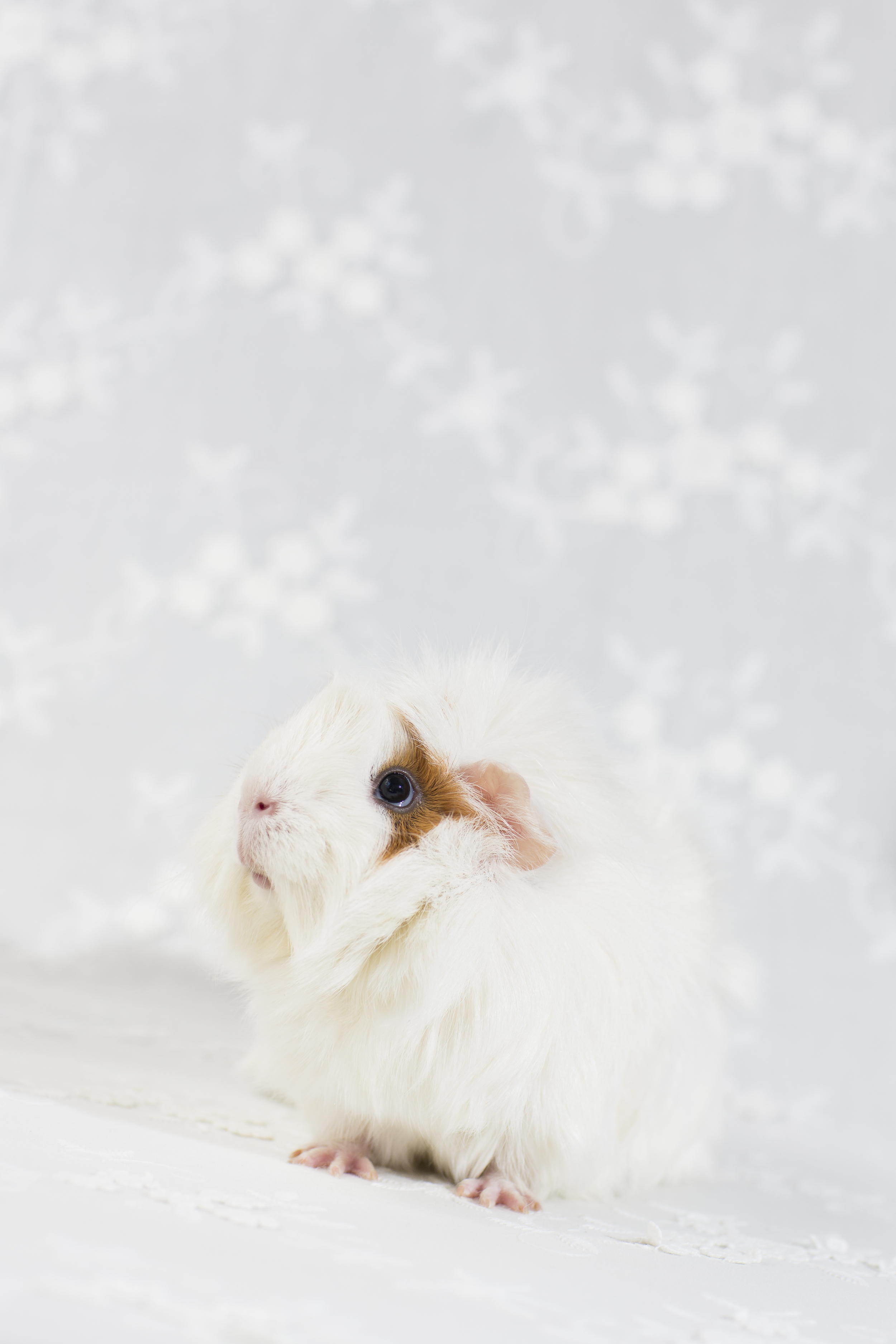 13 white and brown guinea pig pet photography studio session on white fabric.jpg