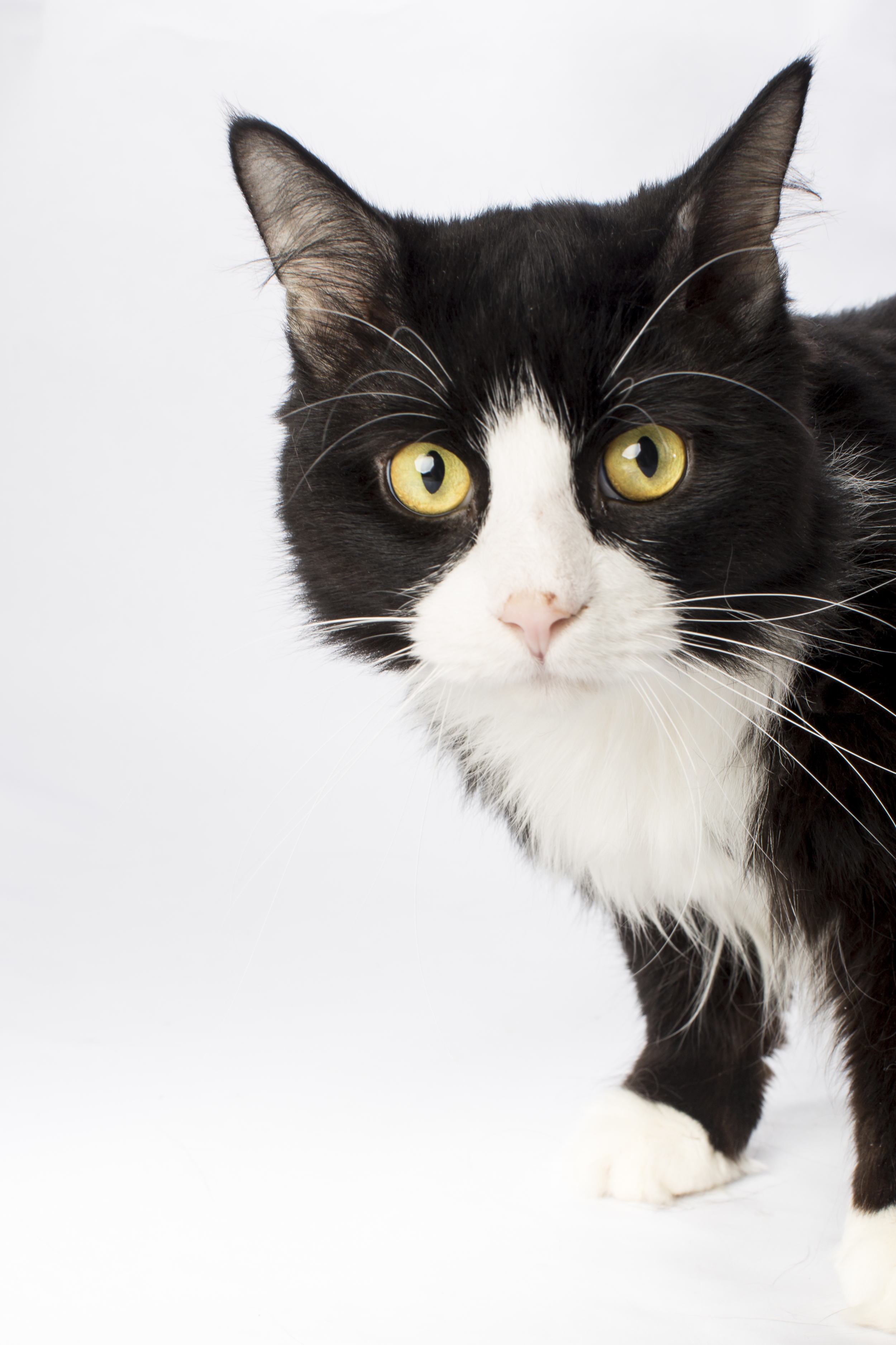 16 black and white cat pet photography studio session on white.jpg