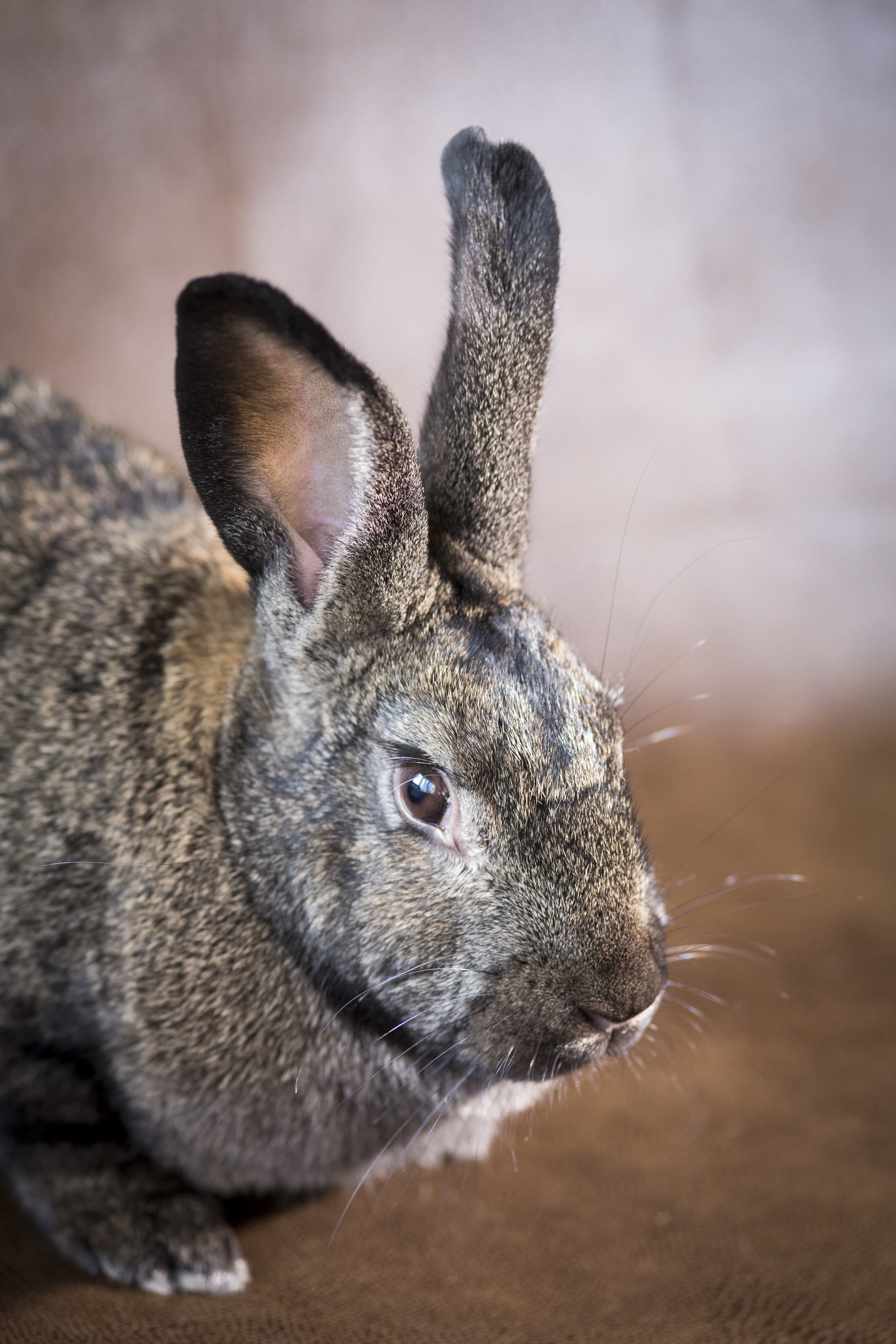 28 tan and black bunny rabbit pet photography studio session on worn leather fabric.jpg