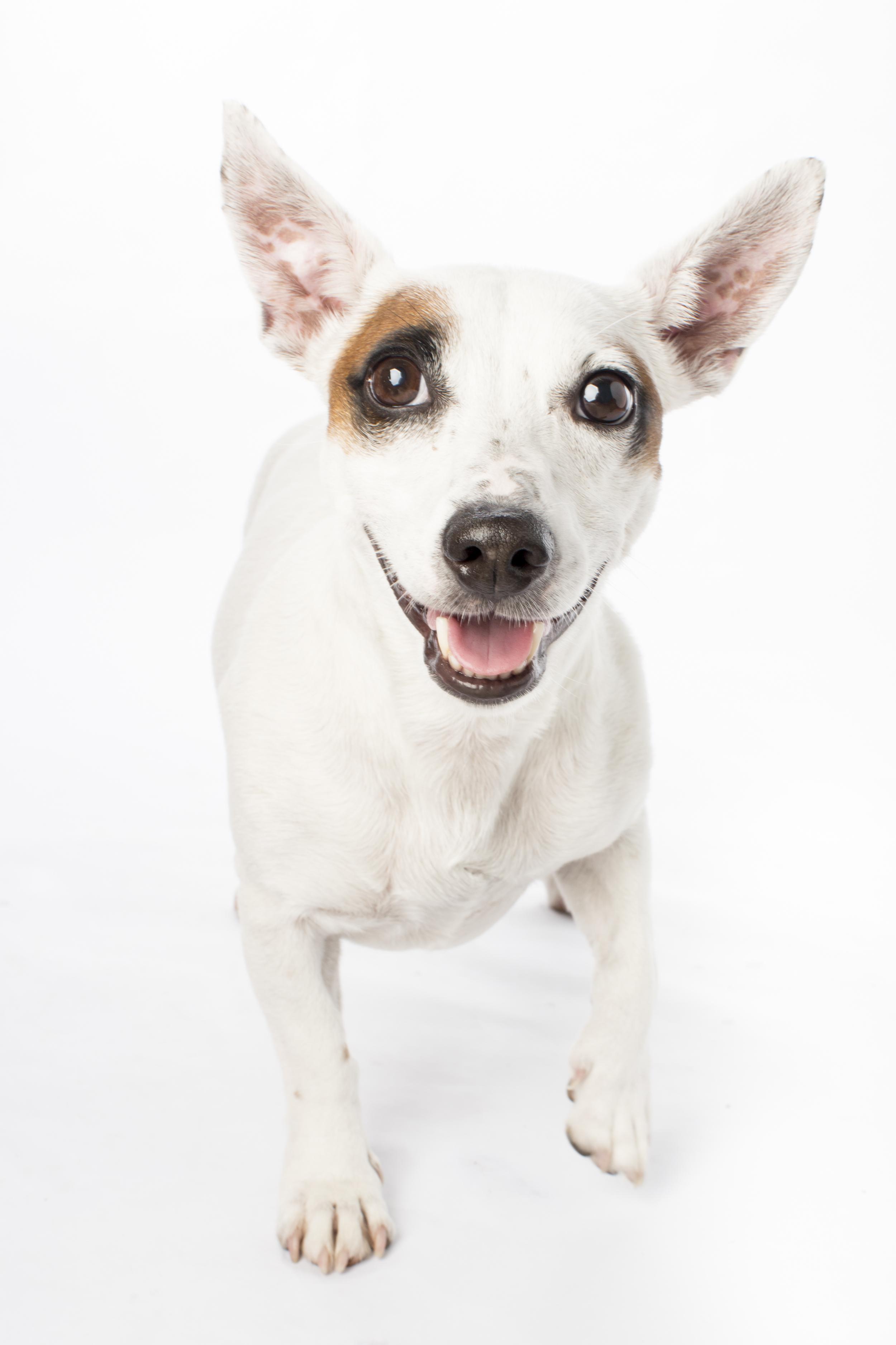 01 Tan eye patch white dog studio pet photography session on white.jpg