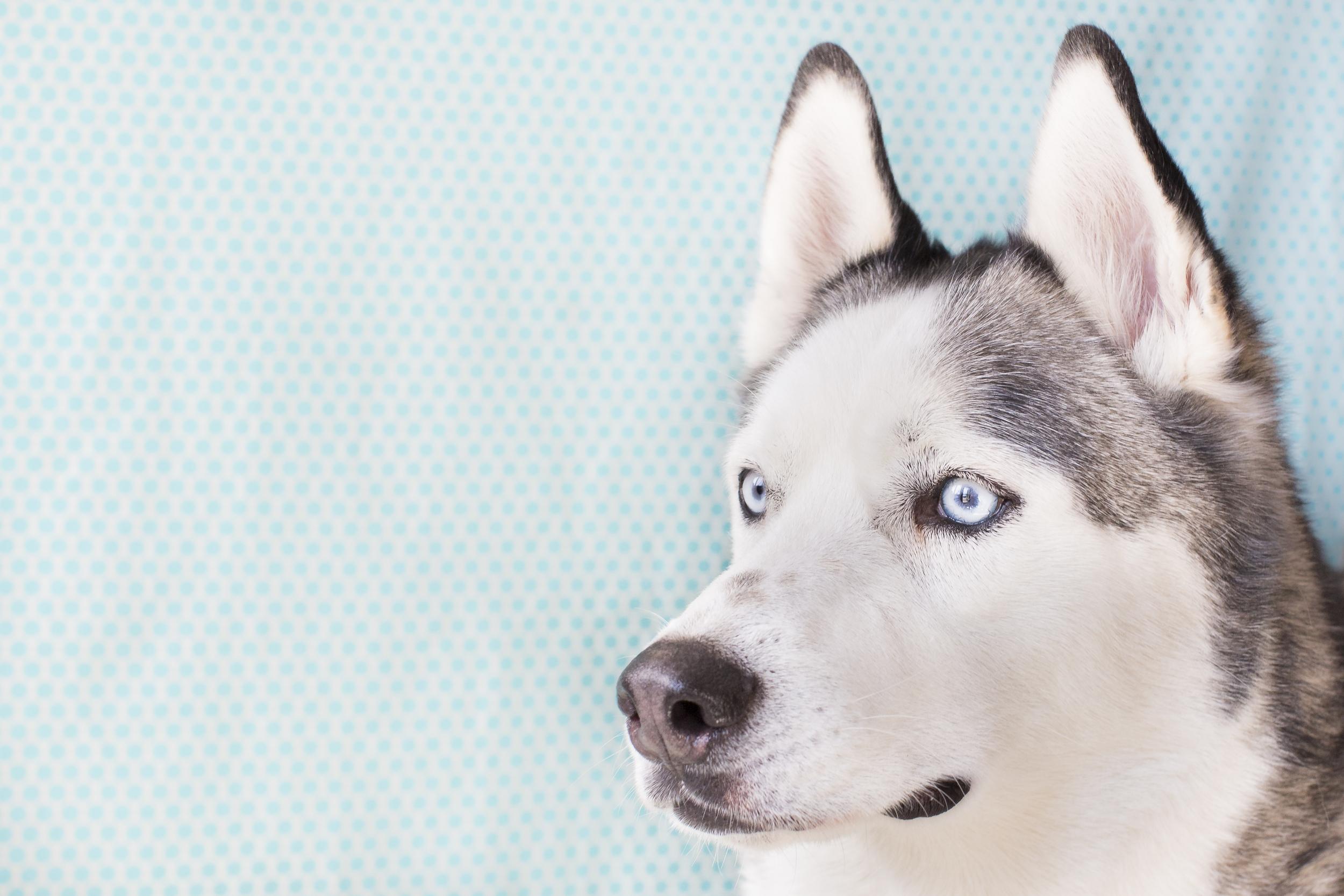 37 Huskey dog studio pet photography session on blue polka dot background blue eyes.jpg