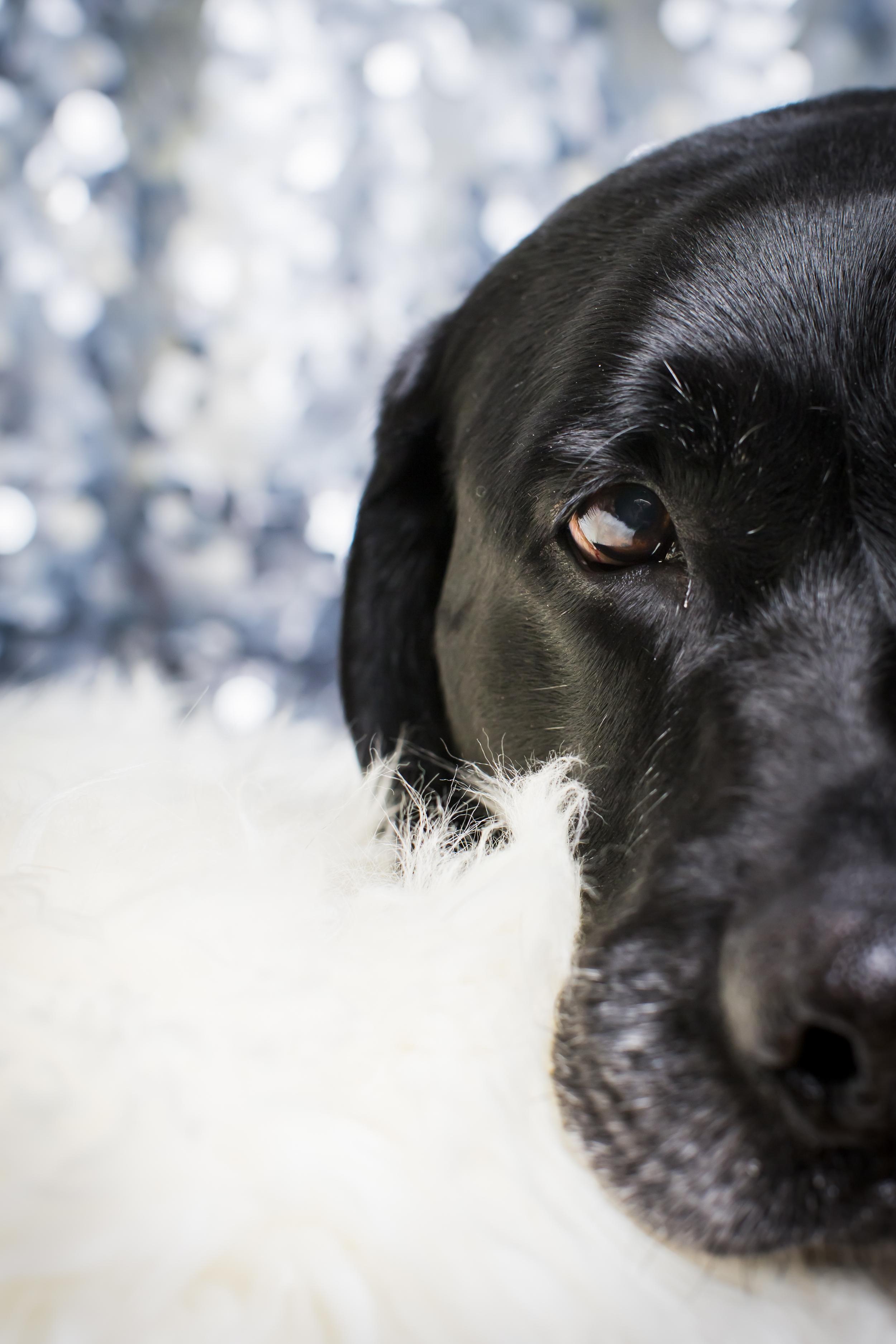 39 Black lab studio pet photography session sparkle background laying on white fur rug.jpg