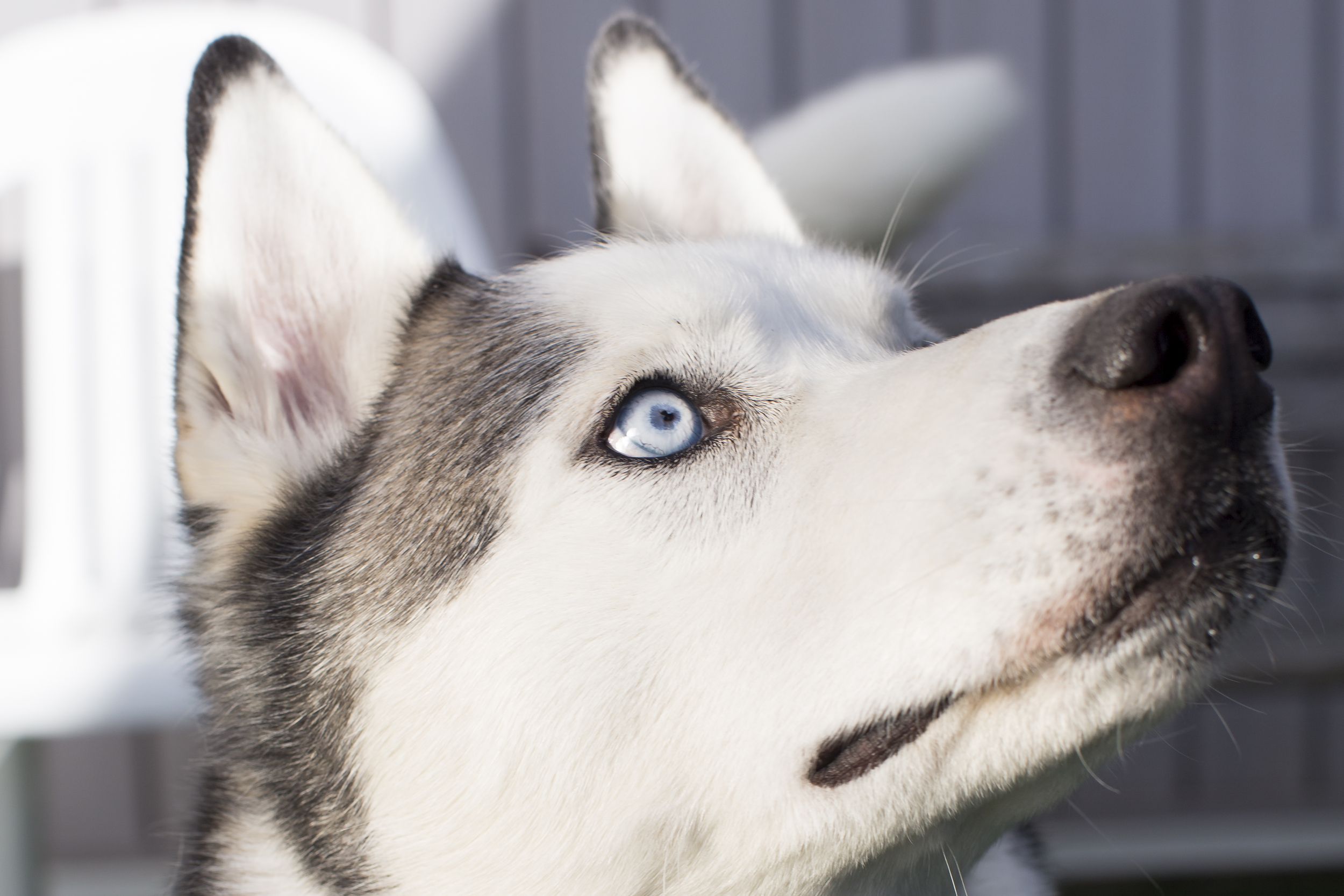 40 Huskey dog outdoor pet photography session blue eyes.jpg