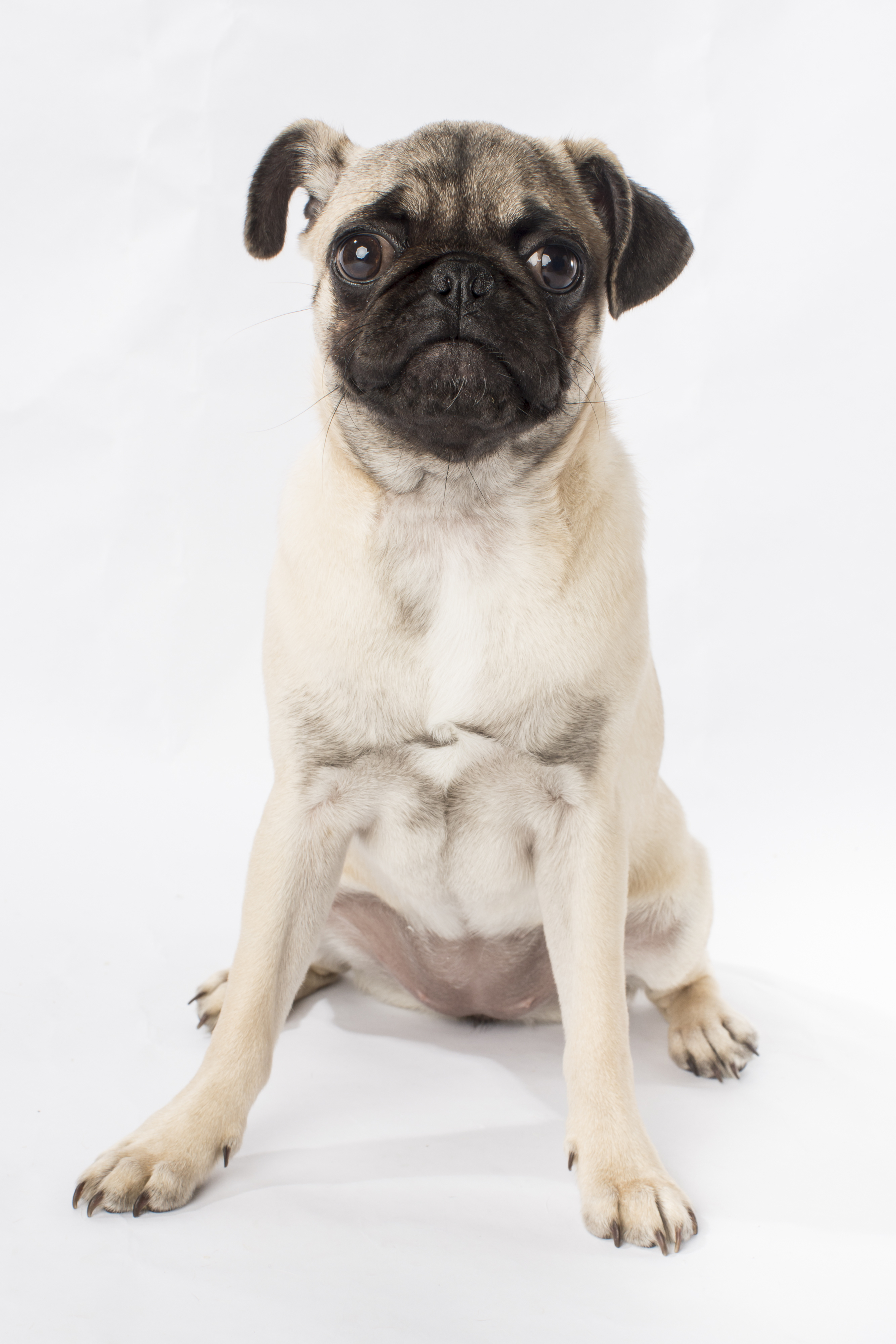 42 Silly pug face pet photography studio session on white background.jpg