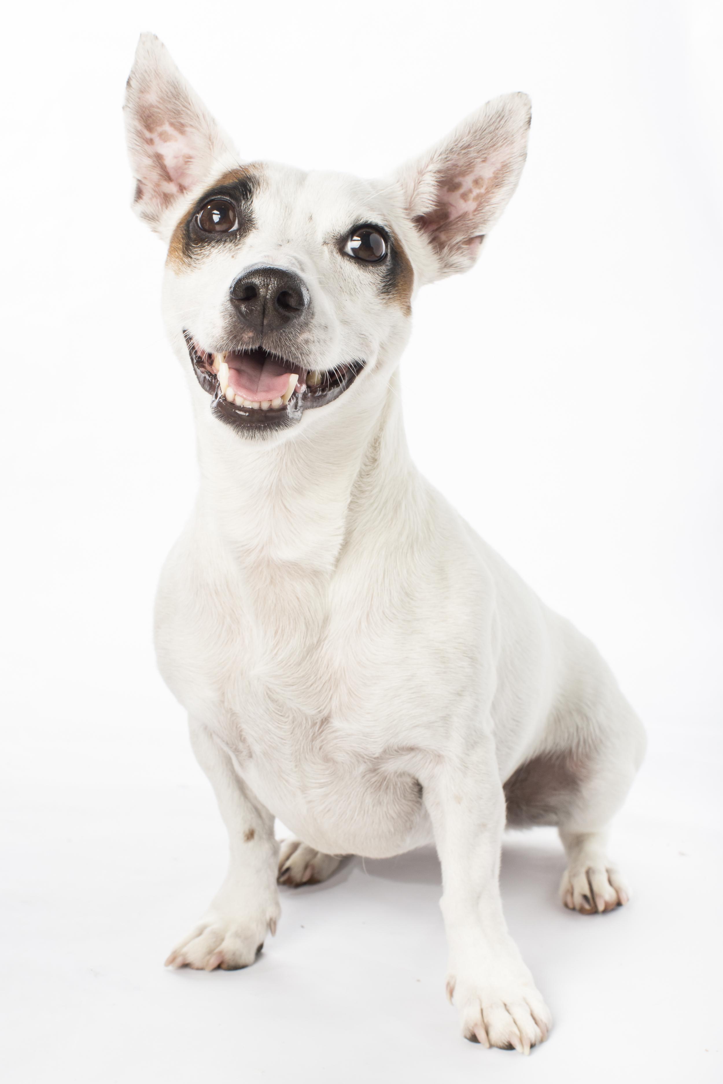 43 Tan eye patch white dog sitting studio pet photography session on white.jpg