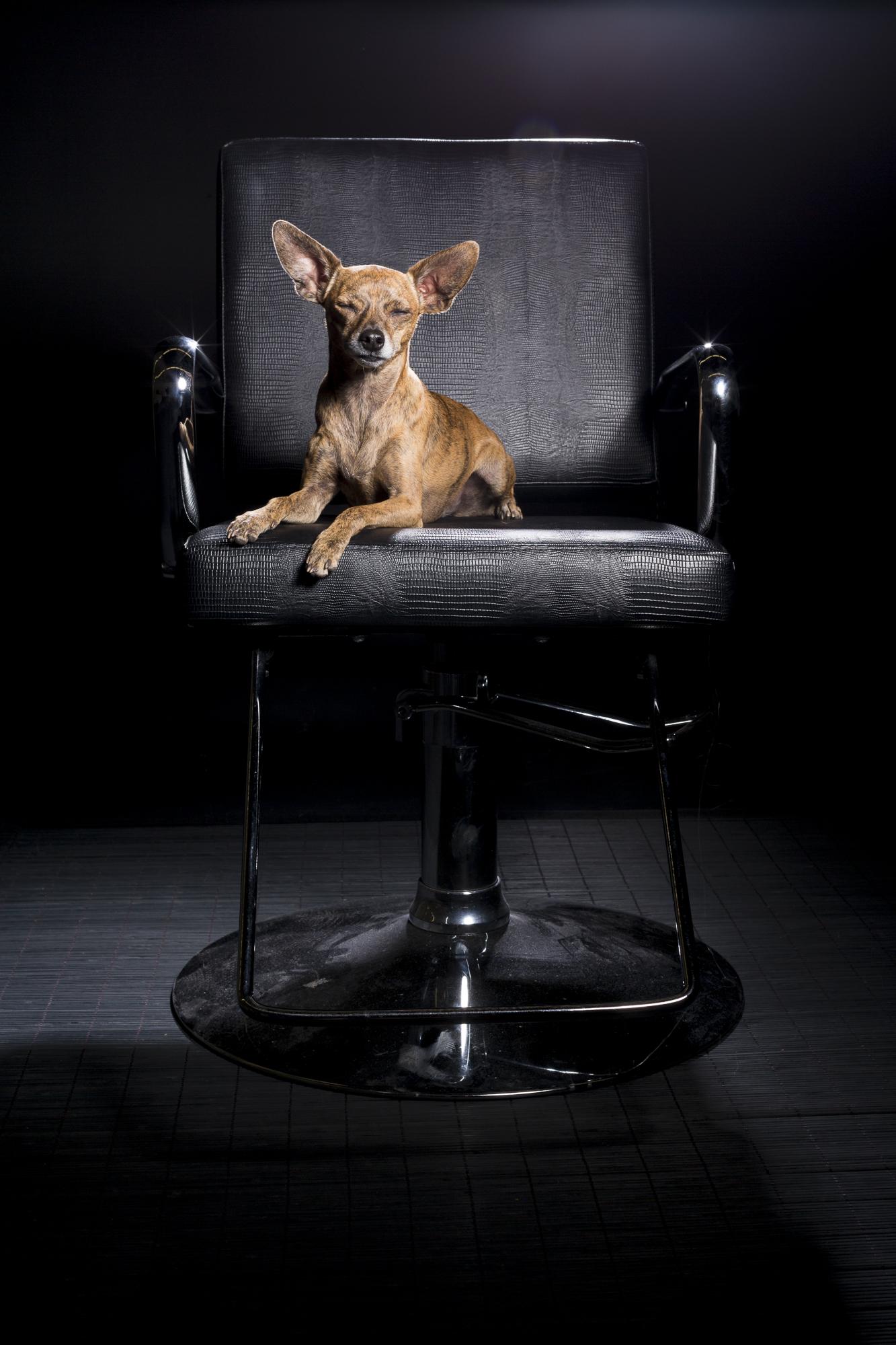 Bebe_chihuahua_dog_portraits-2695.jpg