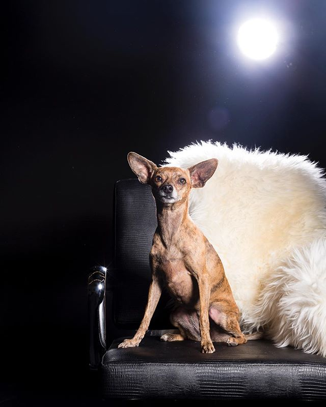Bebe is up on the blog today.  Link in bio👆🏻#chihuahua #chihuahuasofinstagram #petstar #chihuahuaportrait #loveyourfurbabies #leatherchair #tinydogs #lovethatmug #coloradopetphotographer #expressivepetportraits #minisession #denverpetevents #denverdogs