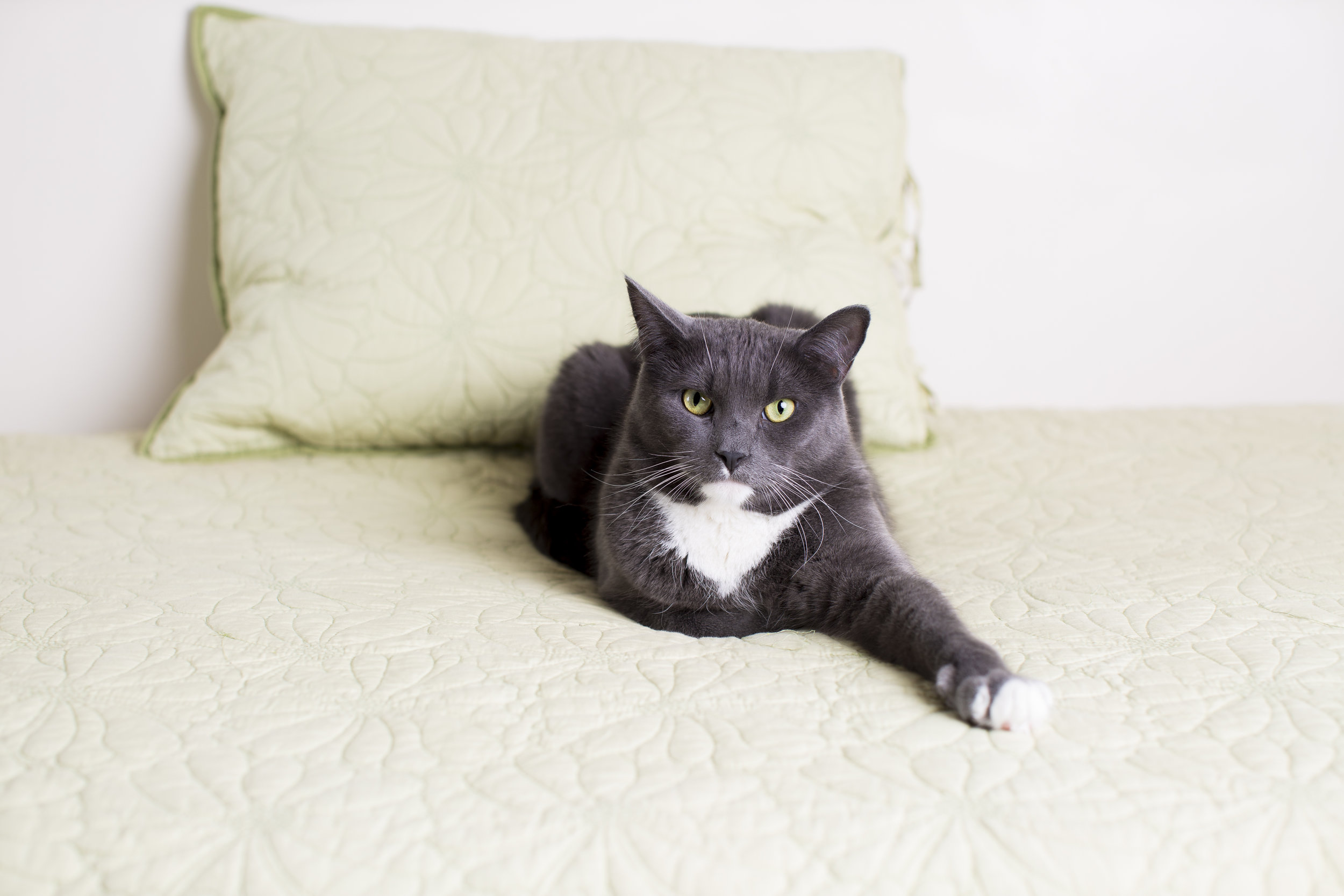 08 lifestyle grey and white cat pet photography on light green couch.jpg