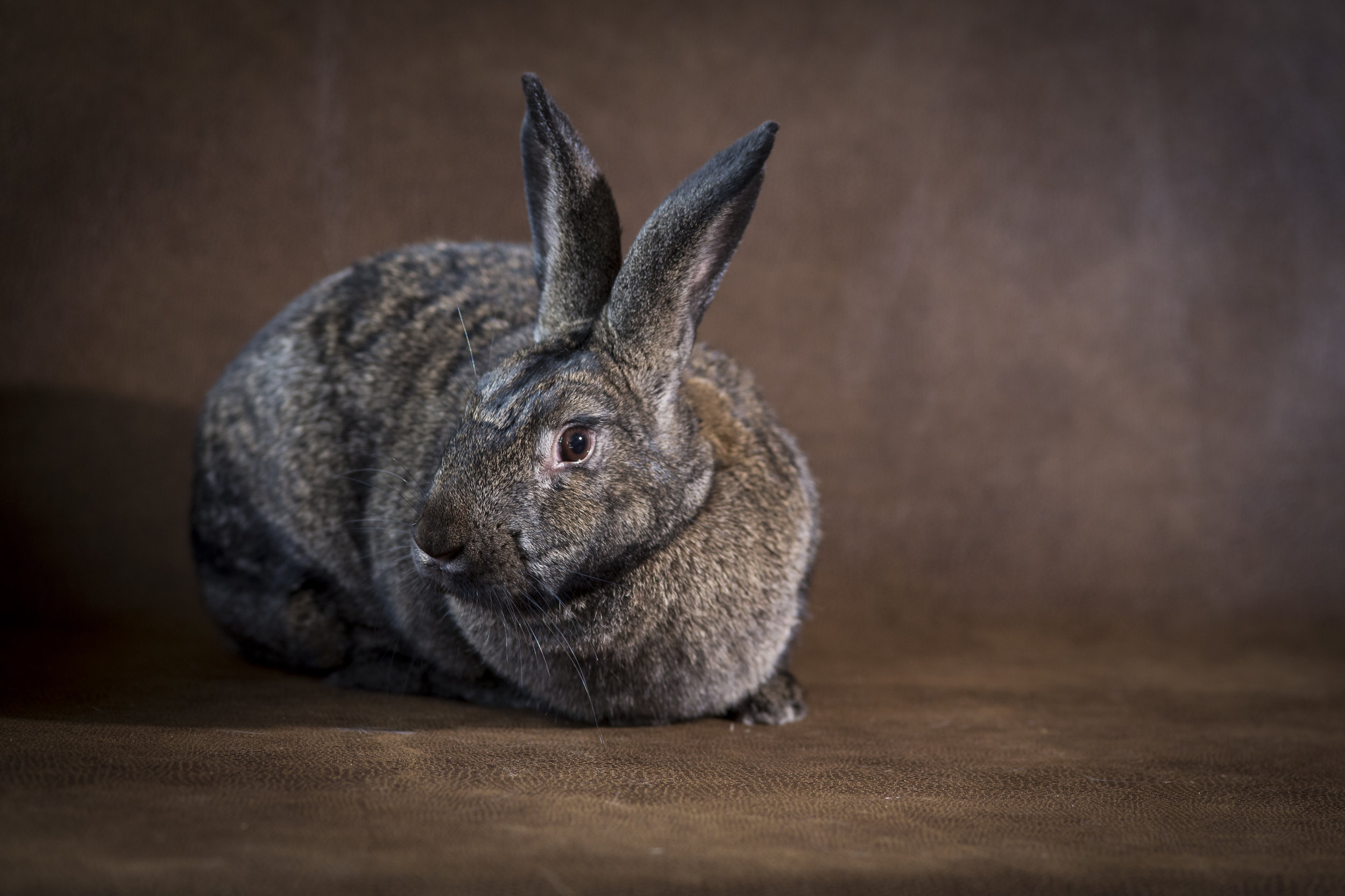 35 beautiful tan and black bunny rabbit pet photography studio session on worn leather fabric.jpg