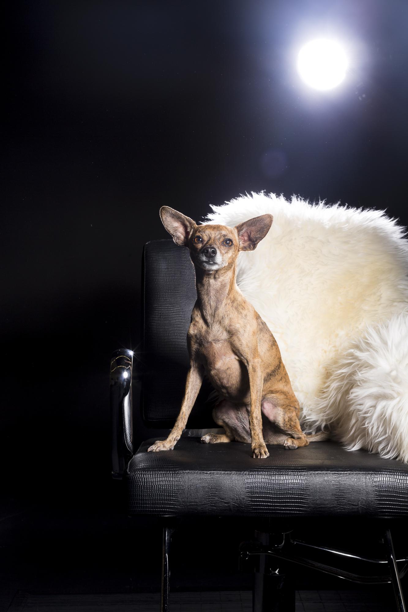 Bebe_chihuahua_dog_portraits-2631.jpg