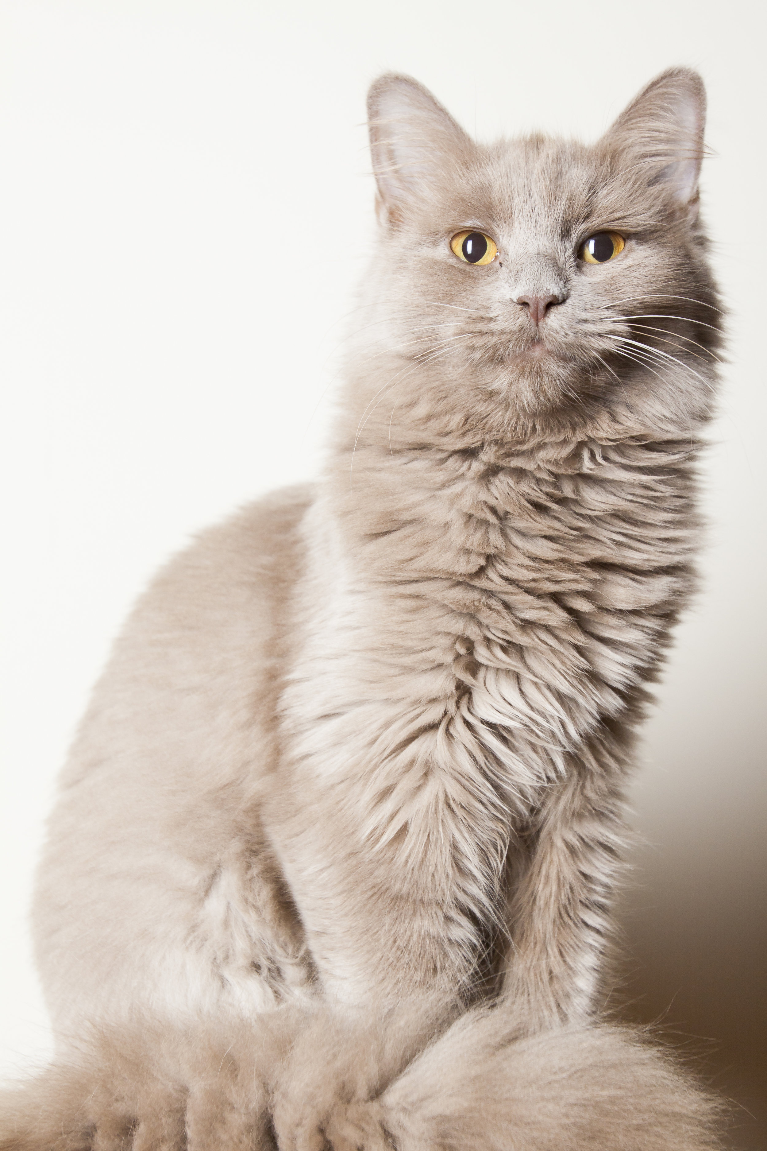 14 regal tan long hair cat posing pet photography studio session on white wall.jpg