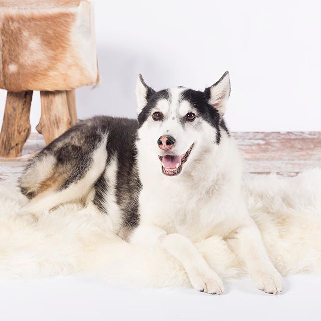 Registration for our June 3rd mini session event is open! We will be photographing on 2 different backdrops during our mini sessions to give everyone some variety to chose from for their products. One of our set ups will be against white with a rustic ottoman and flooring and equipped with a white sheepskin rug that most of our furry friends go Gaga over! Link to event details in bio. #furonfur #cleanwhite #denverpetevent #minisessionevent #petminisessions #massifstudiosdenver #petportraits #sheepskinrug #adorablepets #huskiesofinstagram #huskyportrait #huskyphotography #youknowyouwanna #illseeyouthere