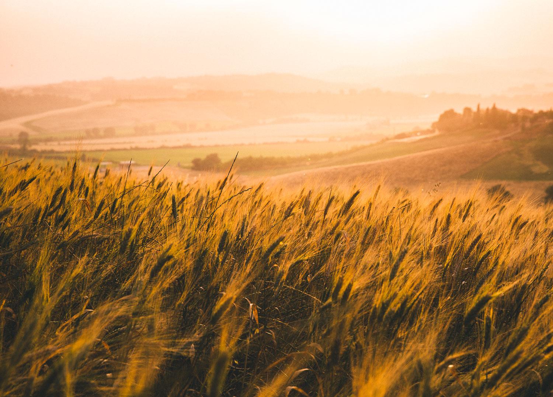 cp travel site wheat field.jpg