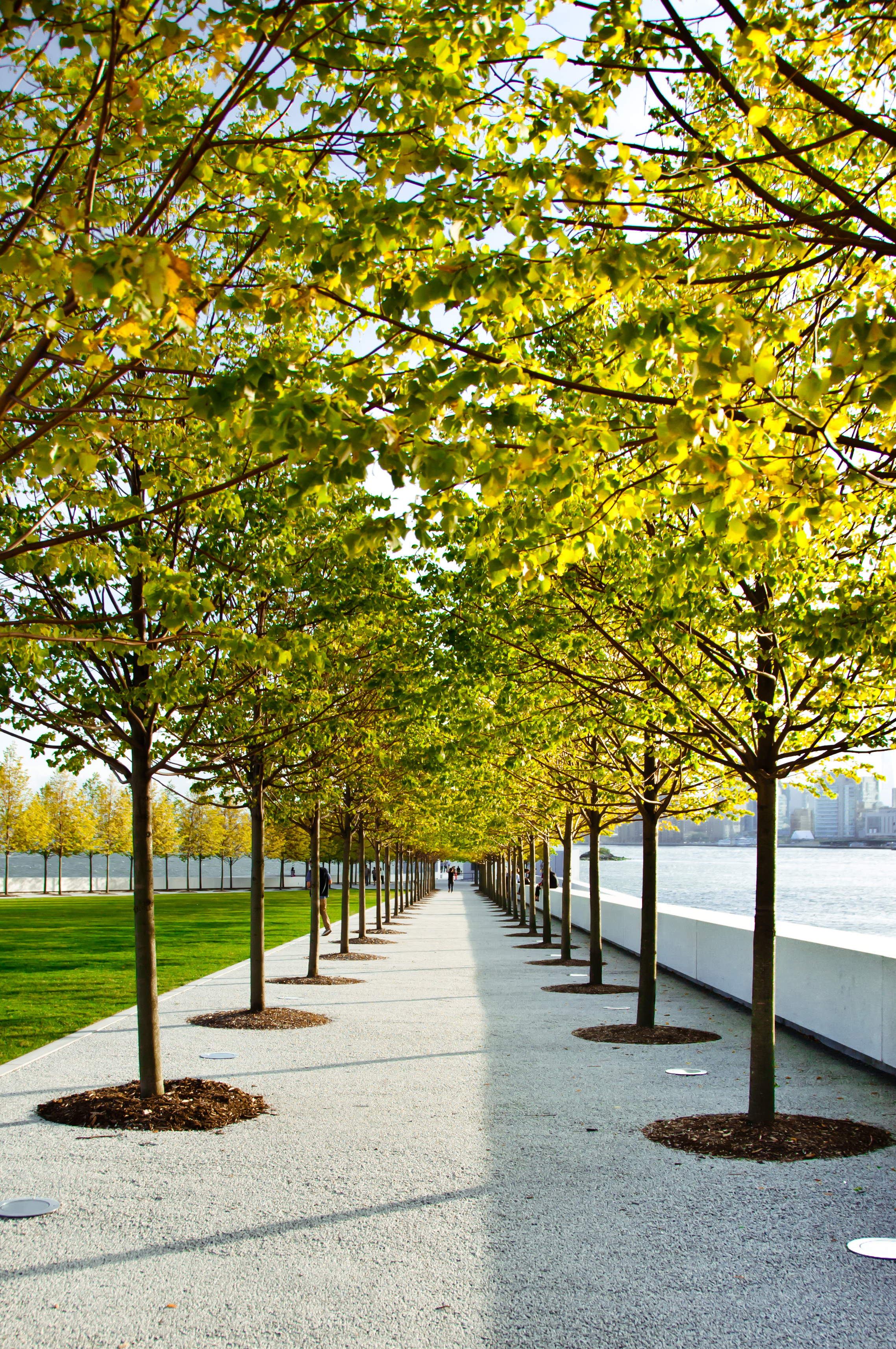 The Linden Trees in bloom. Photo © David Jiang.