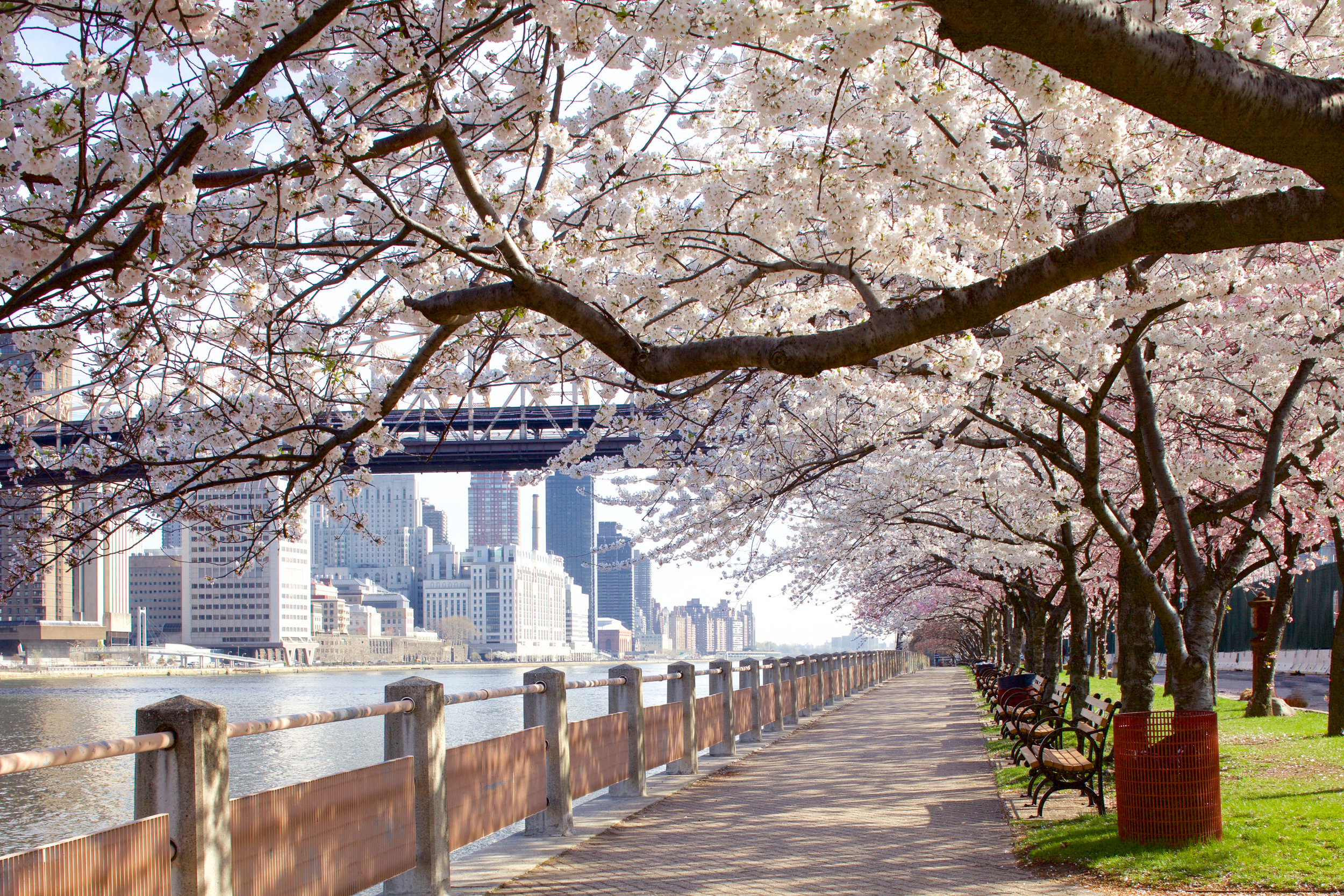 Cherry Blossom trees along the west promenade of Roosevelt Island