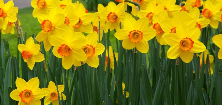 Daffodils-720x340.jpg