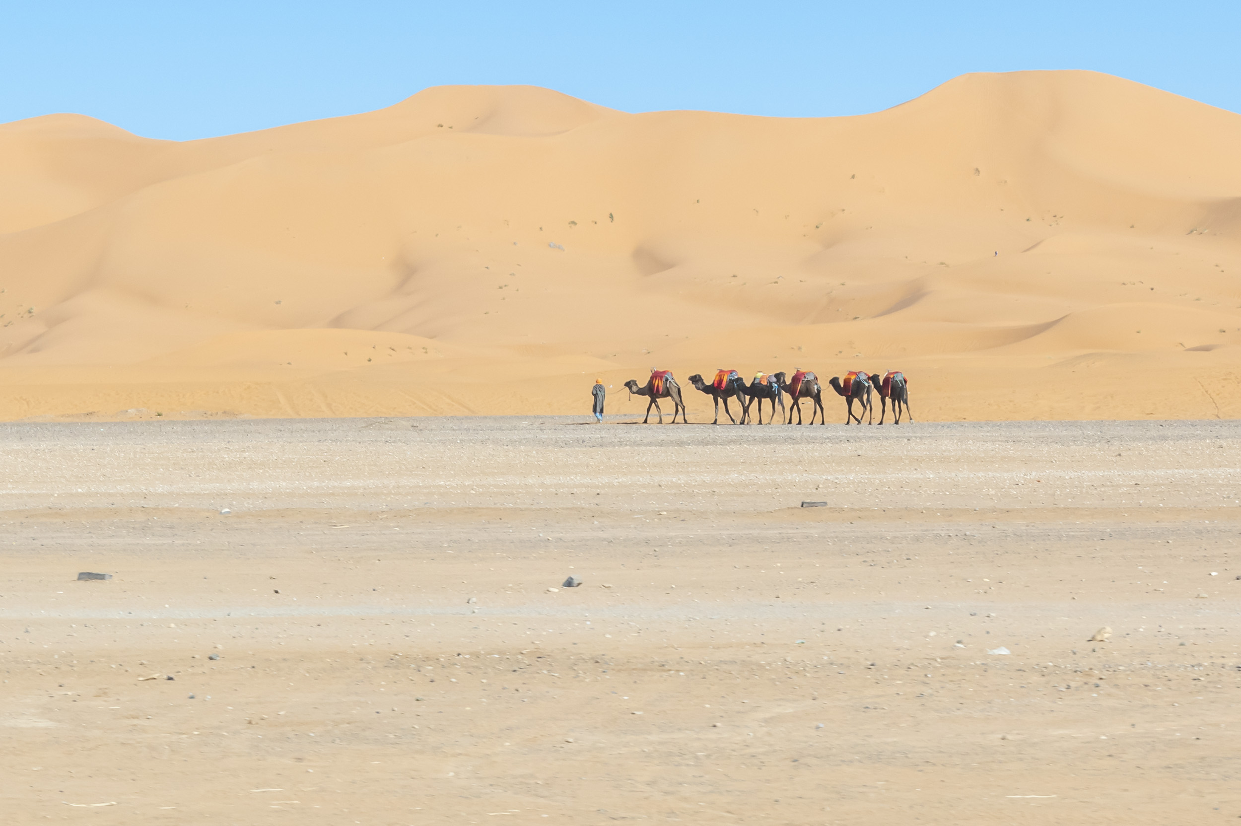 Camels in the Sahara -  Morocco