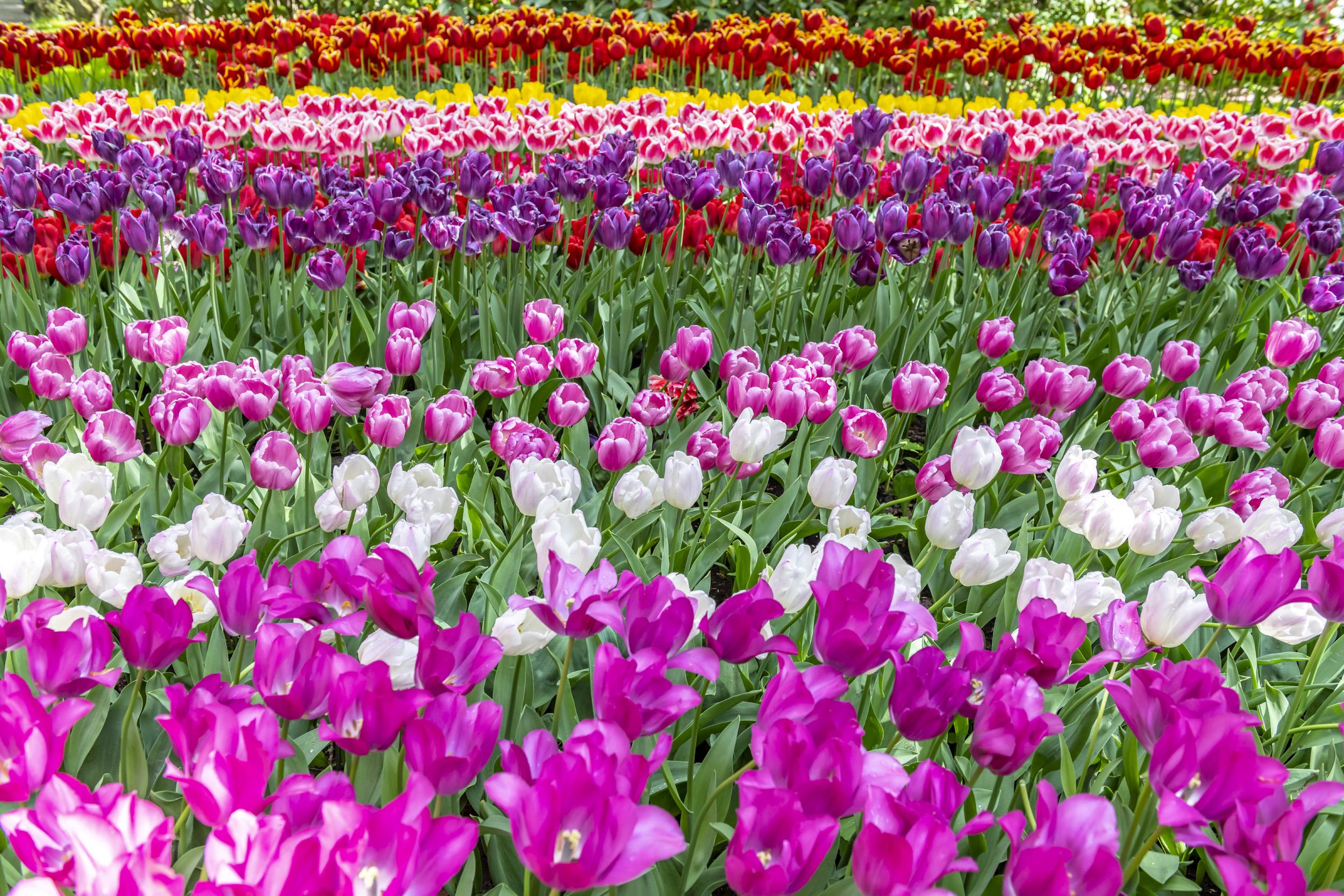 Tulips in Bloom - Kuekenhof, Netherlands