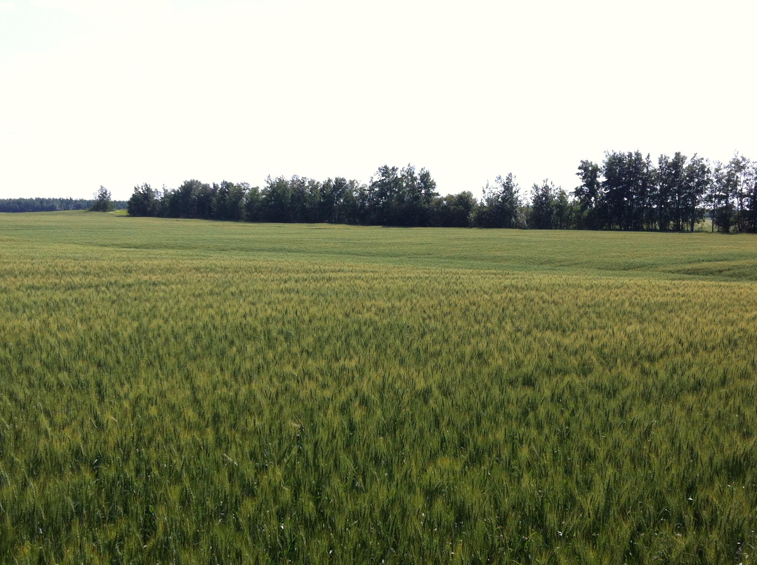 IMG_4635_barley_field.JPG