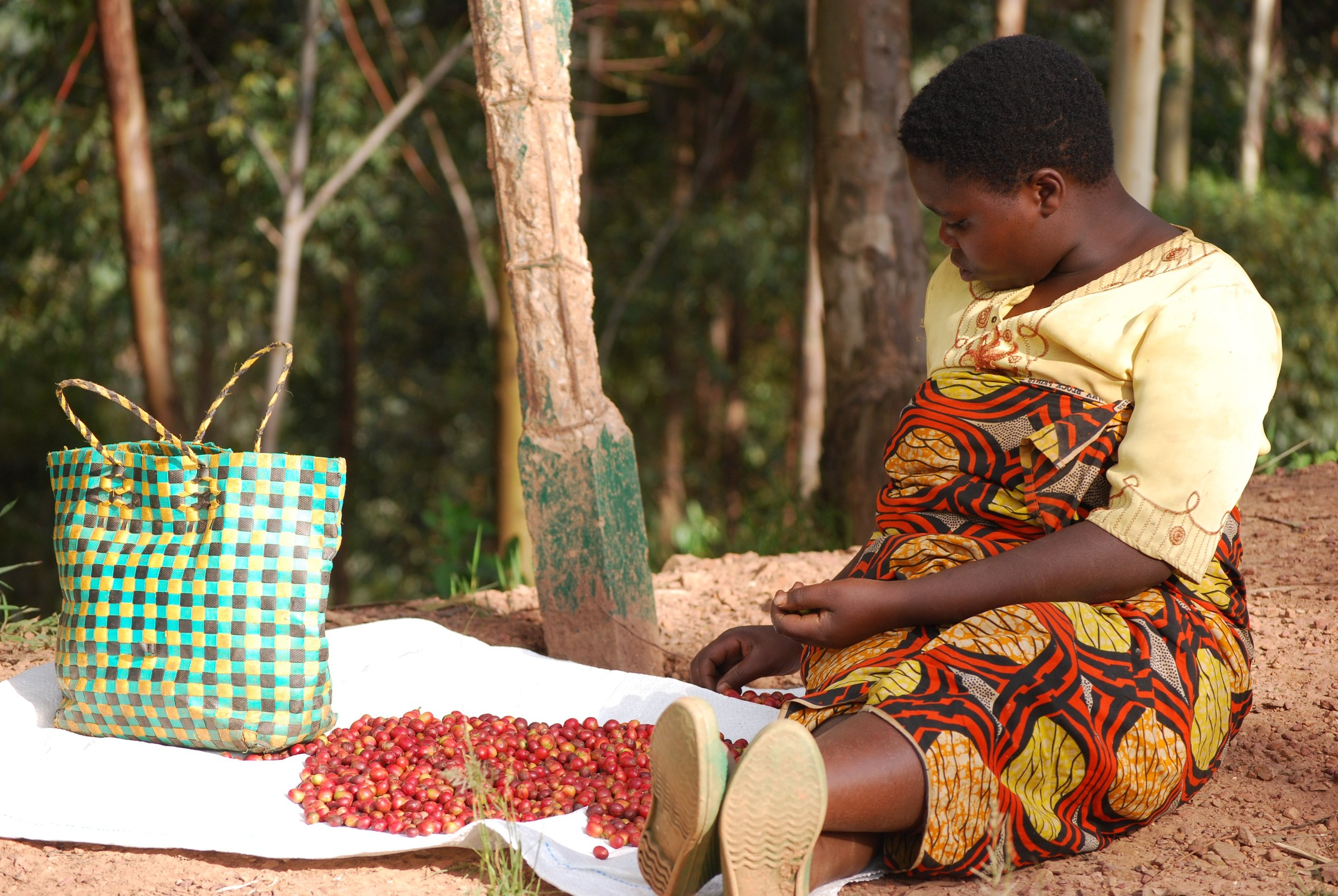 Cherry Hand-Picking at Tumba Collection Site .jpg