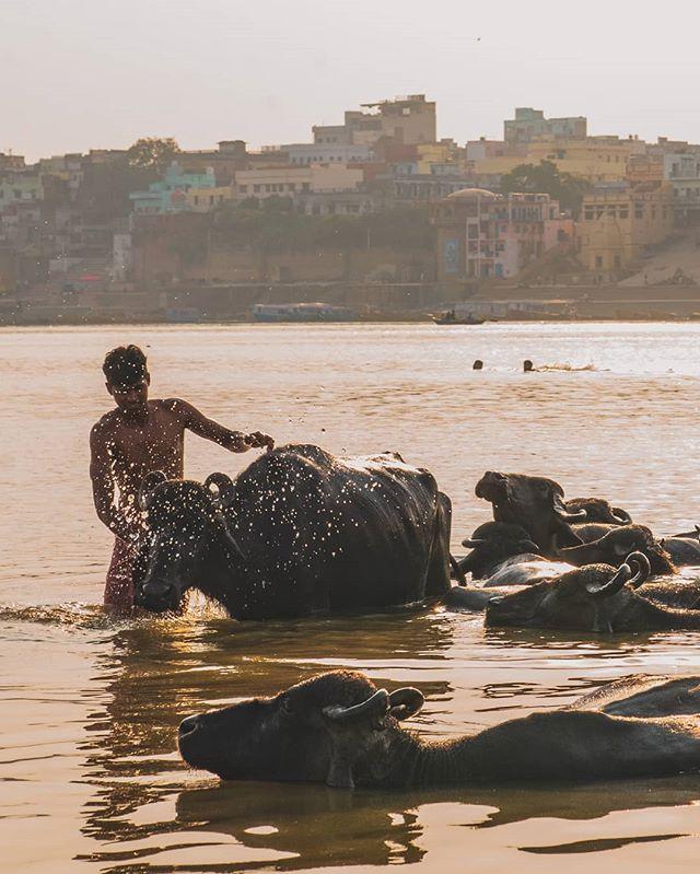 A farmer bathes oxen in the Ganga.
