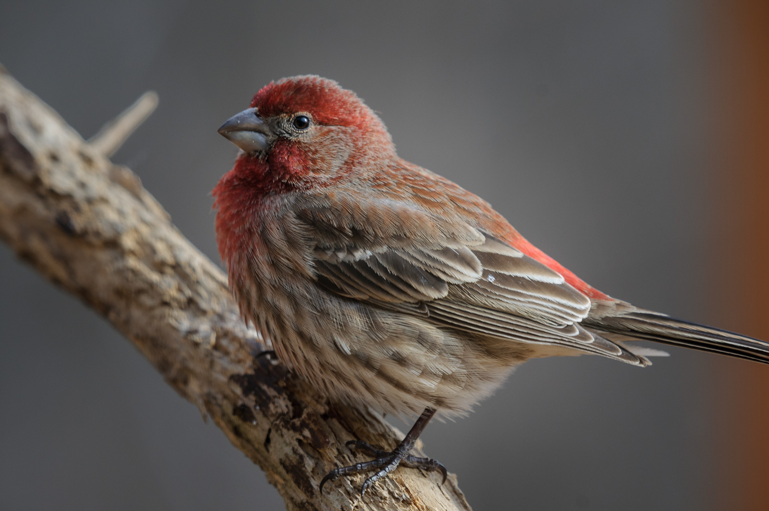 HOUSE FINCH ♂️
