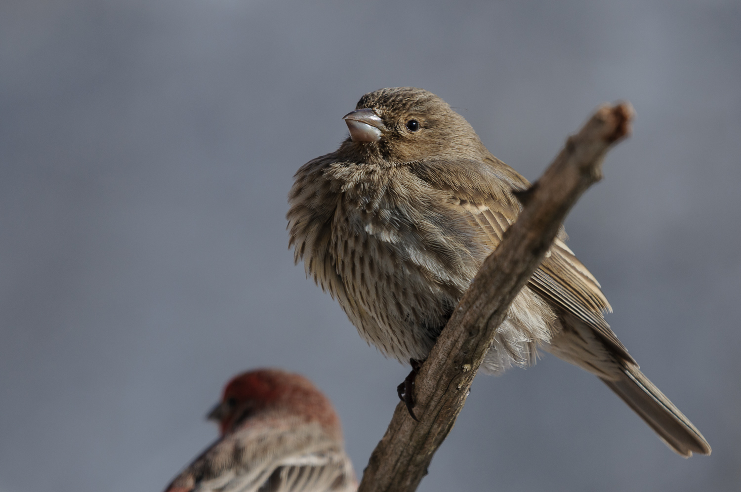 HOUSE FINCH ♀️