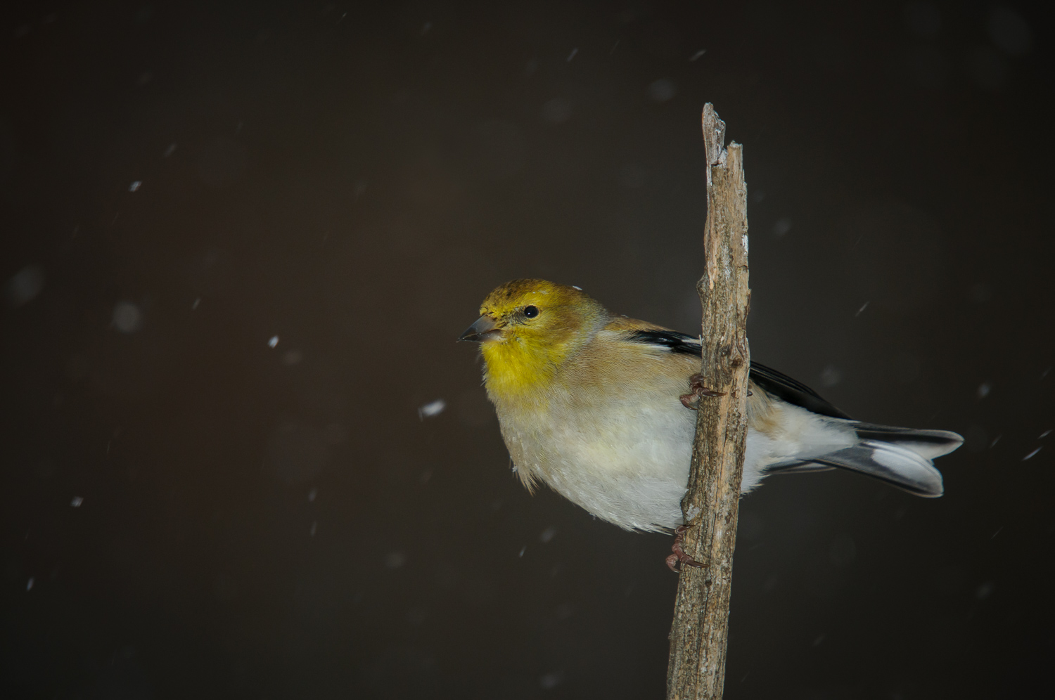 AMERICAN GOLDFINCH ♂️, WINTER