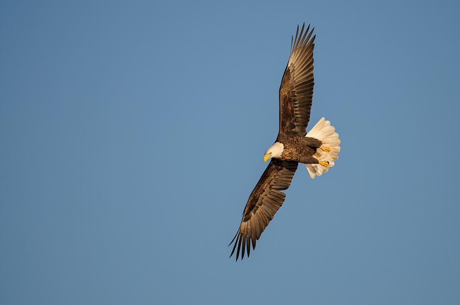 Bald Eagle 2015-1