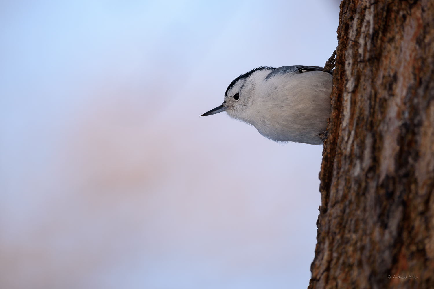 White-breasted Nuthatch, Little Maquoketa River Valley, Iowa