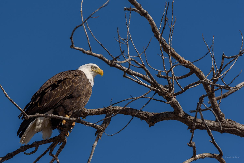 Bald Eagle, Mississippi River, Dubuque, Iowa