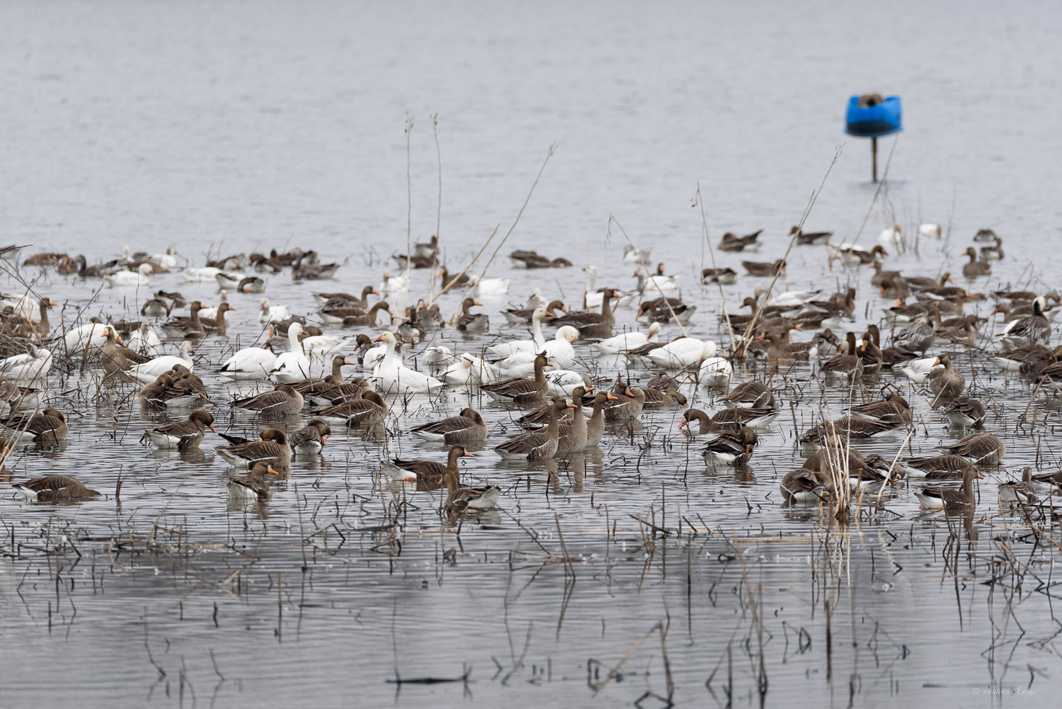 Green Island Wetlands, Greater White-fronted Geese, Snow Geese, Ross's Geese (far right)