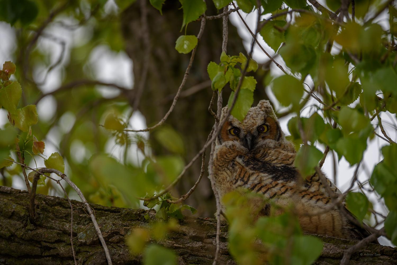 Owlet #1