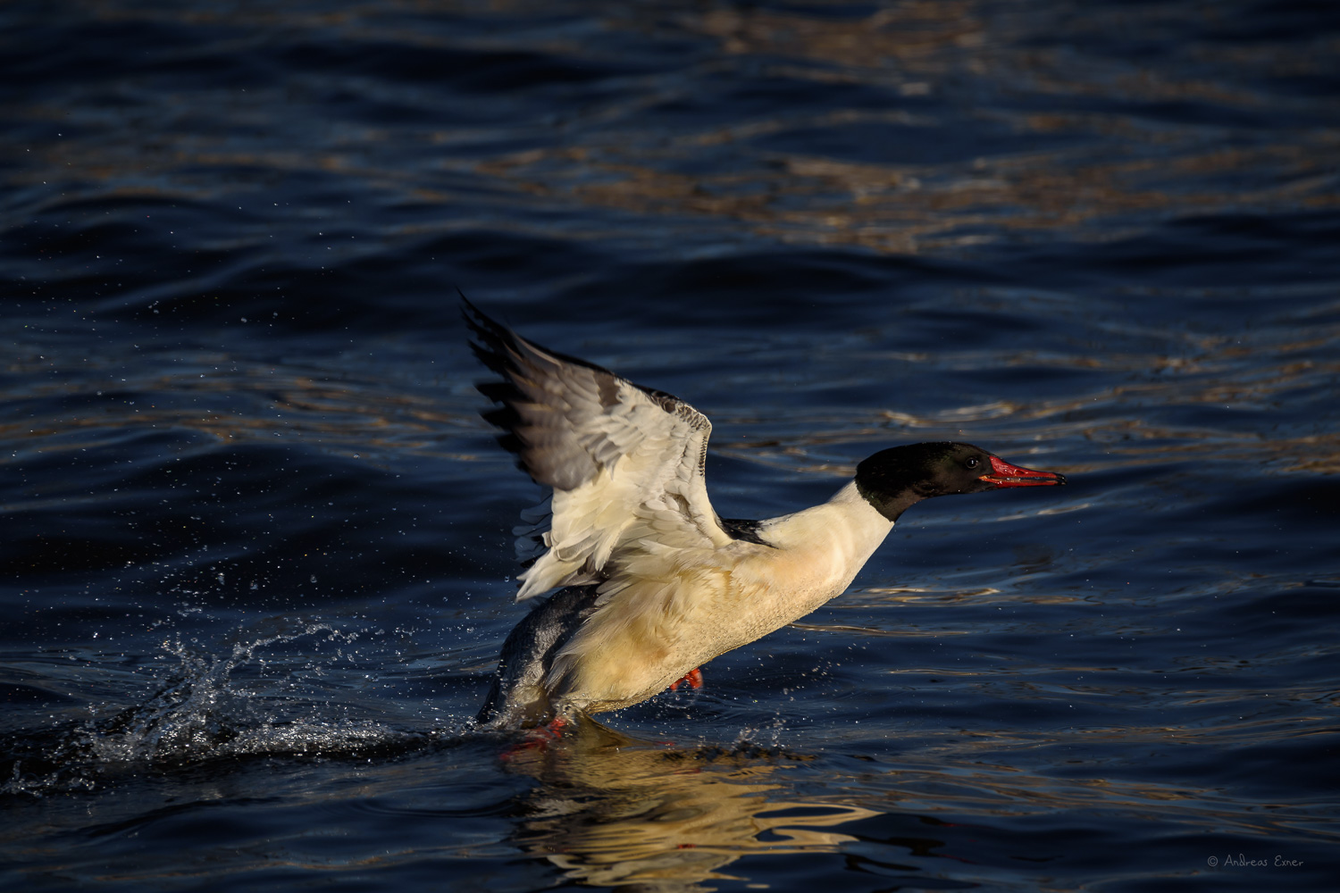 Male Common Merganser, Mississippi River, Le Claire, Iowa