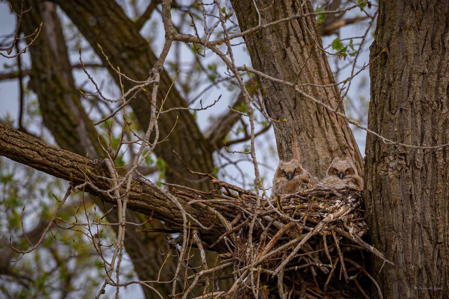 GREAT HORNED OWL, JUVENILES