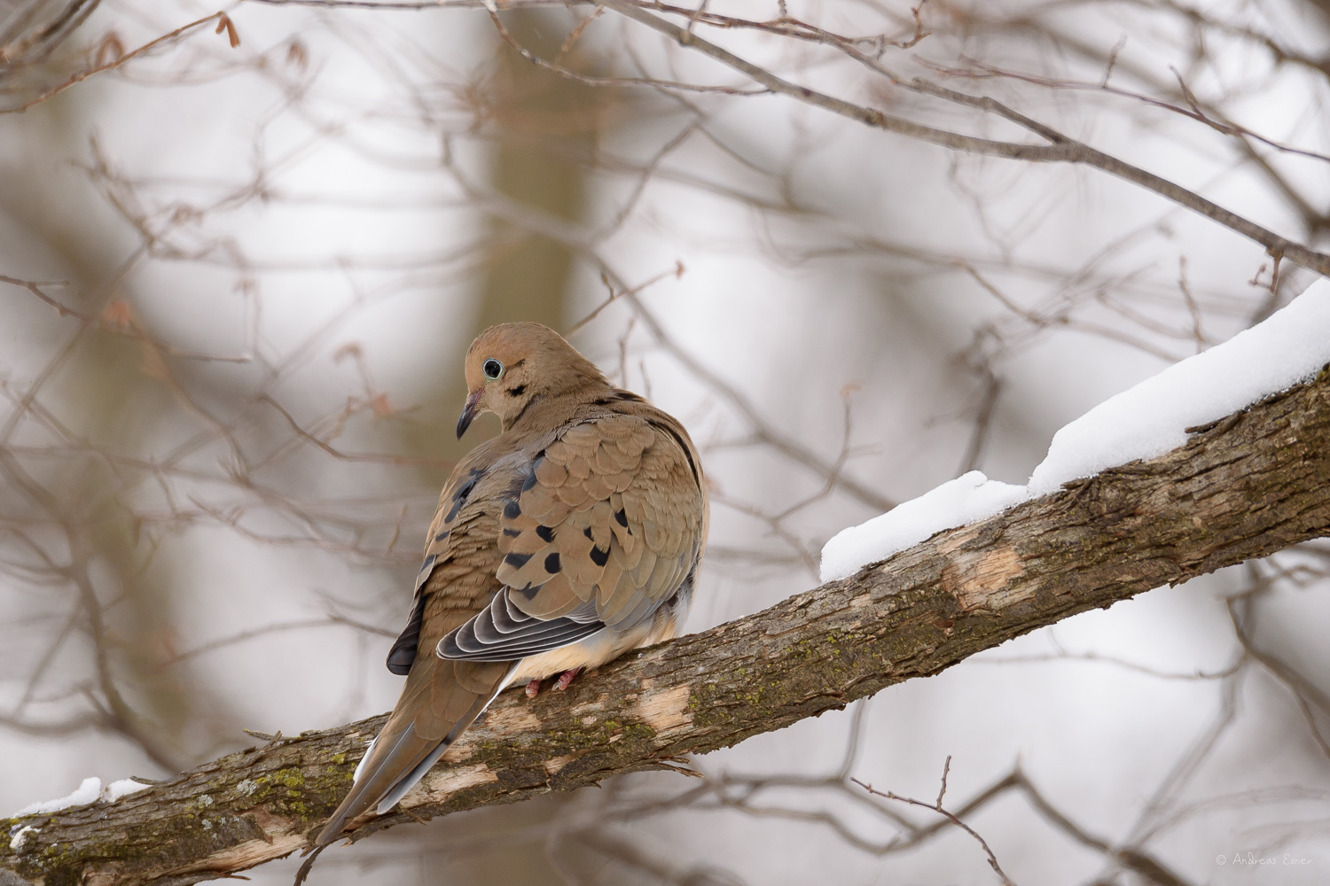 Mourning Dove, photo made with MAGMOD MagBeam flash extender
