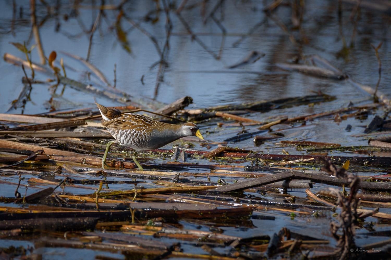 Sora, Green Island Wetlands, Mississippi River, Iowa